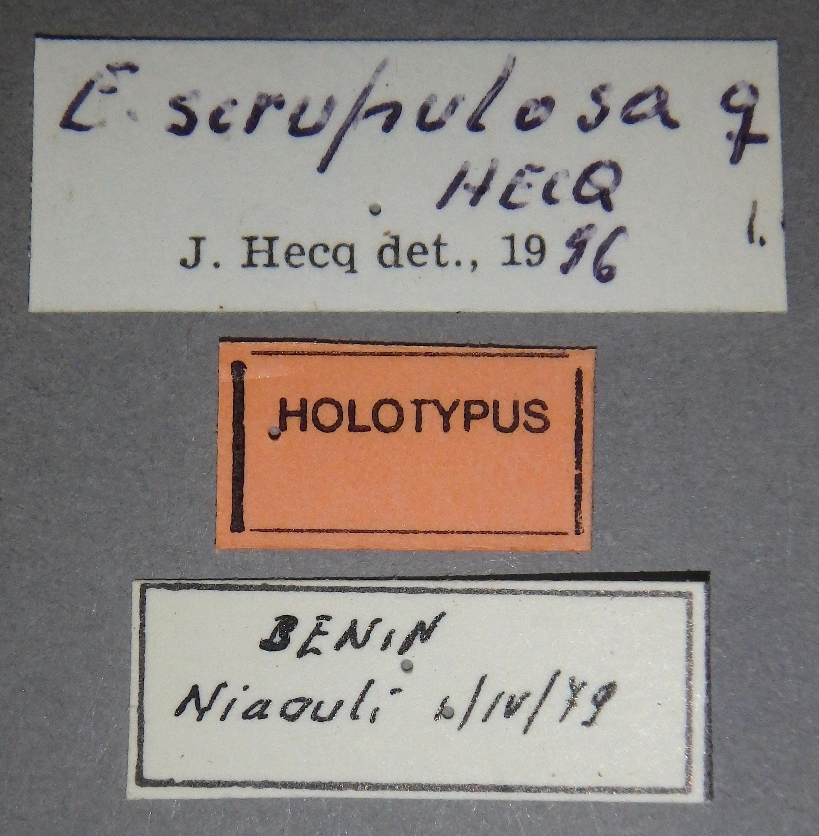 Euphaedra (Euphaedrana) scrupulosa ht F Lb.jpg
