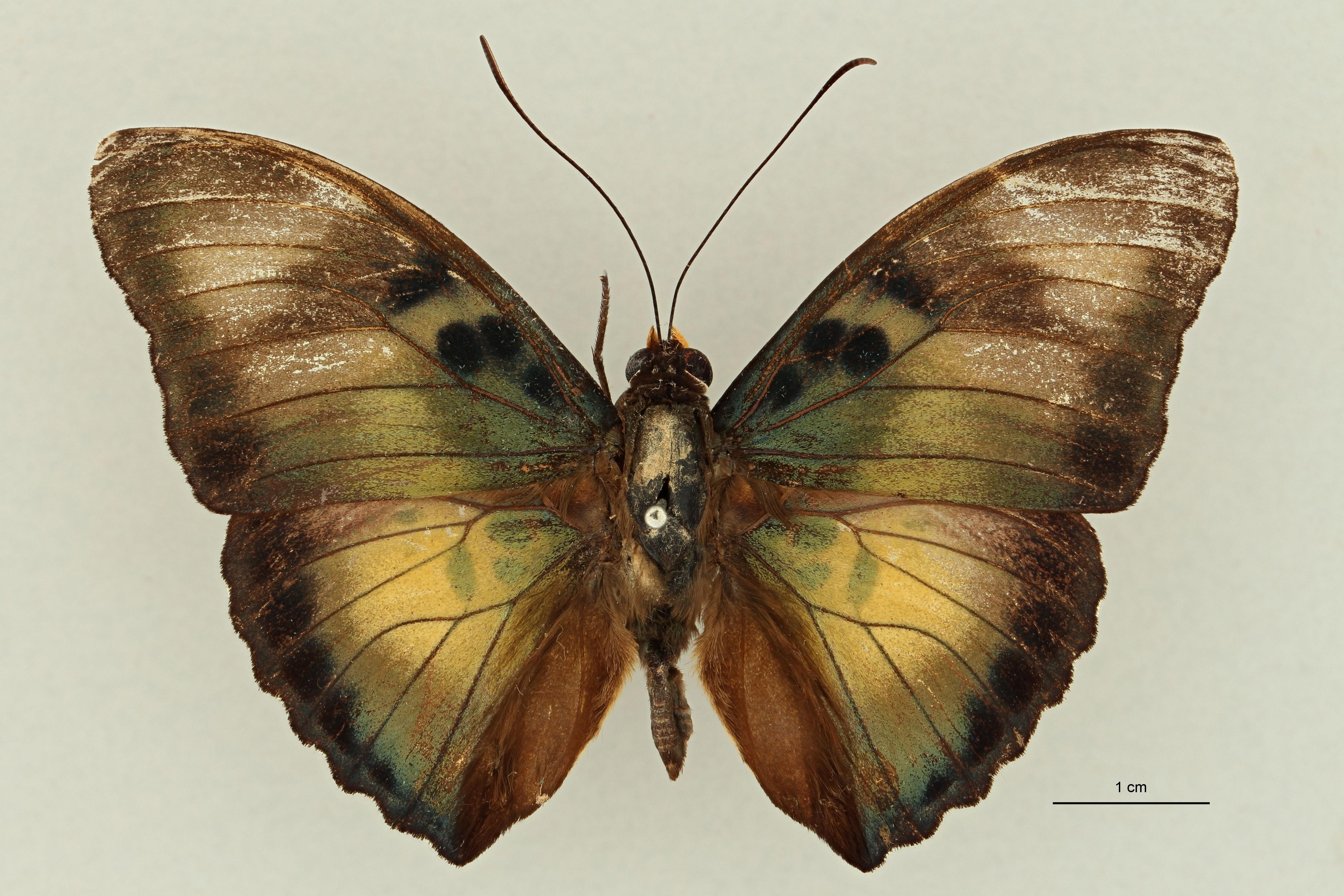 Euphaedra (Gausapia) clio M pt D.jpg