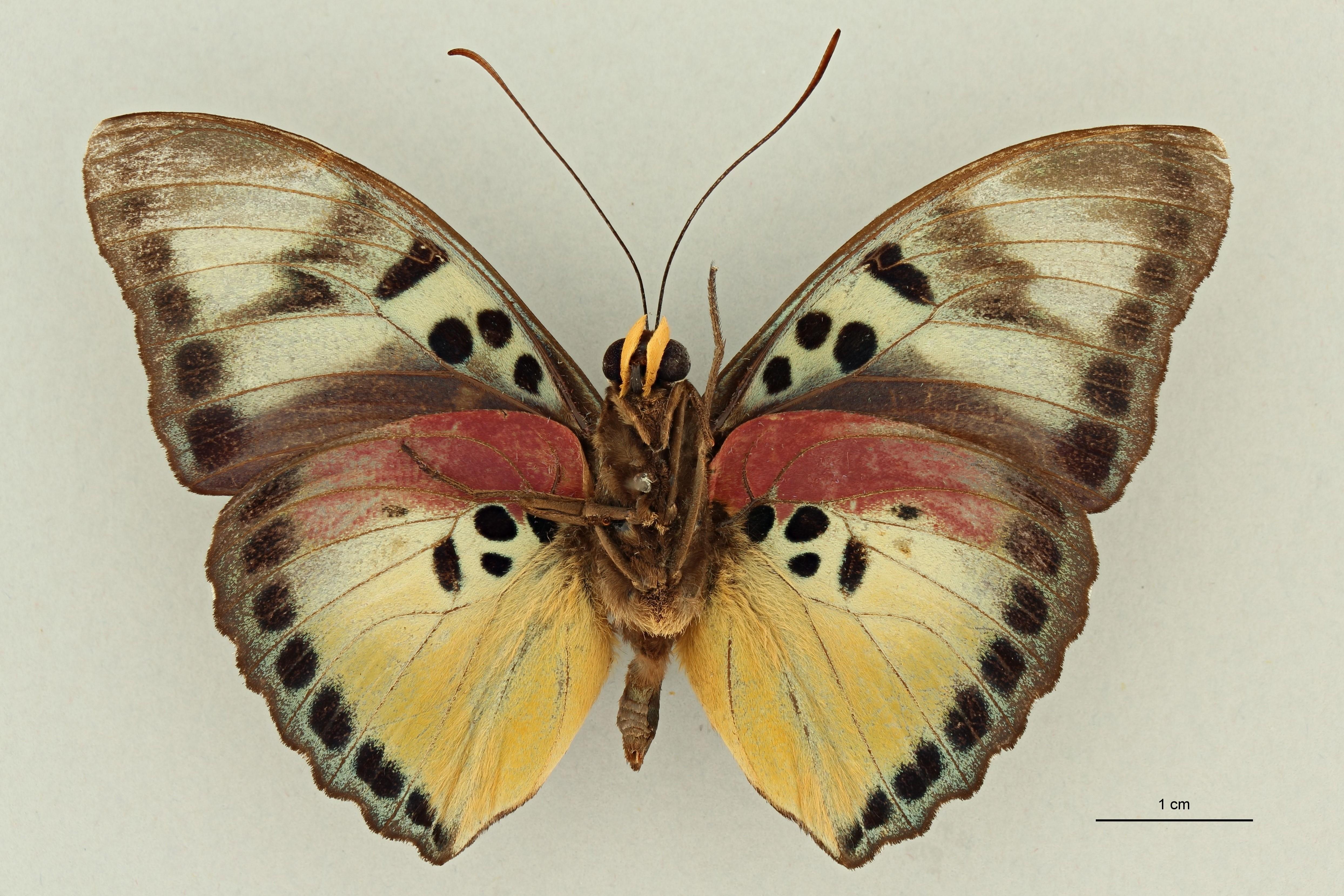 Euphaedra (Gausapia) clio M pt V.jpg