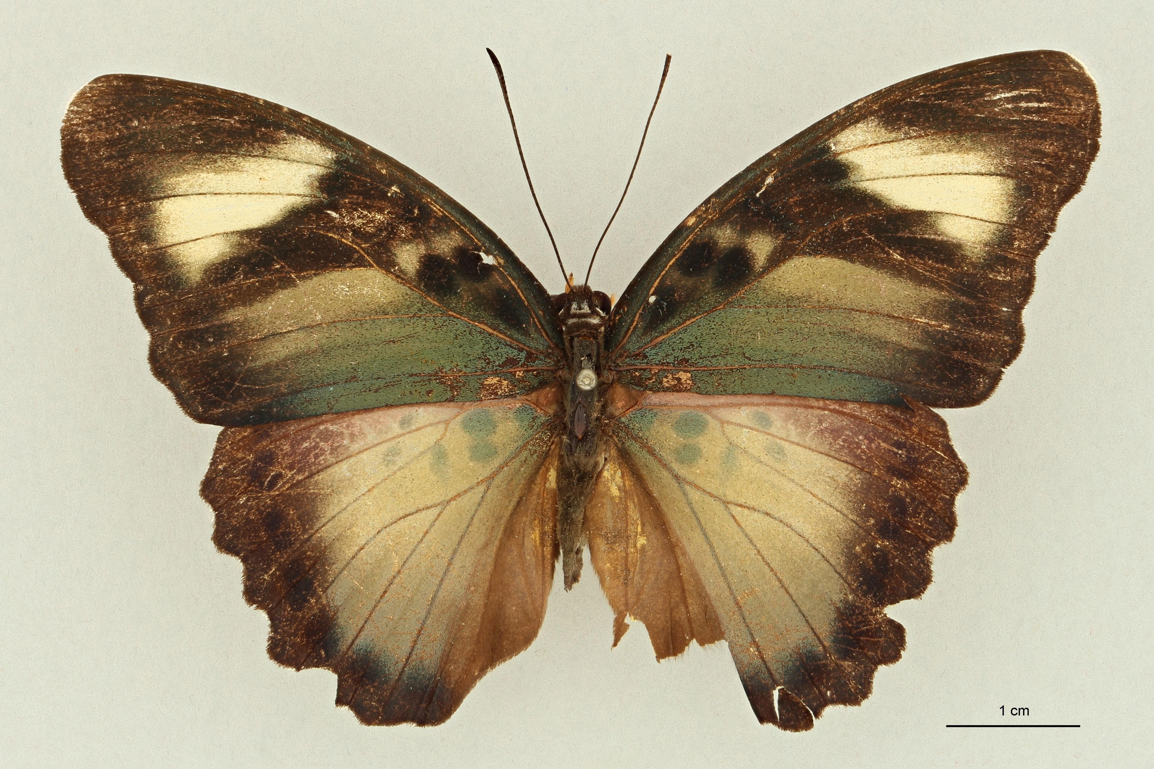 Euphaedra (Gausapia) thalie F pt D.jpg