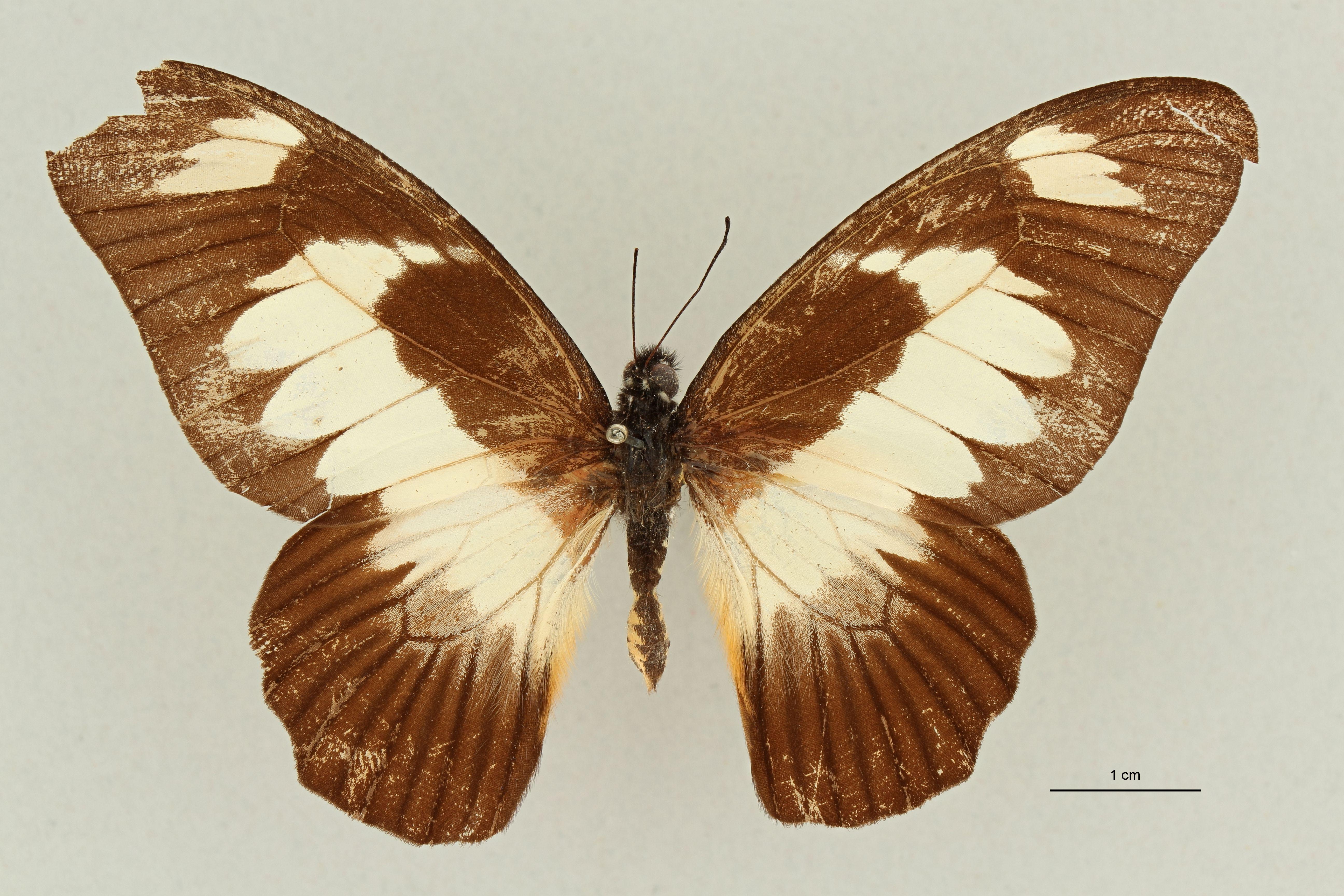 Papilio ucalegon var simoni  M ht D.jpg