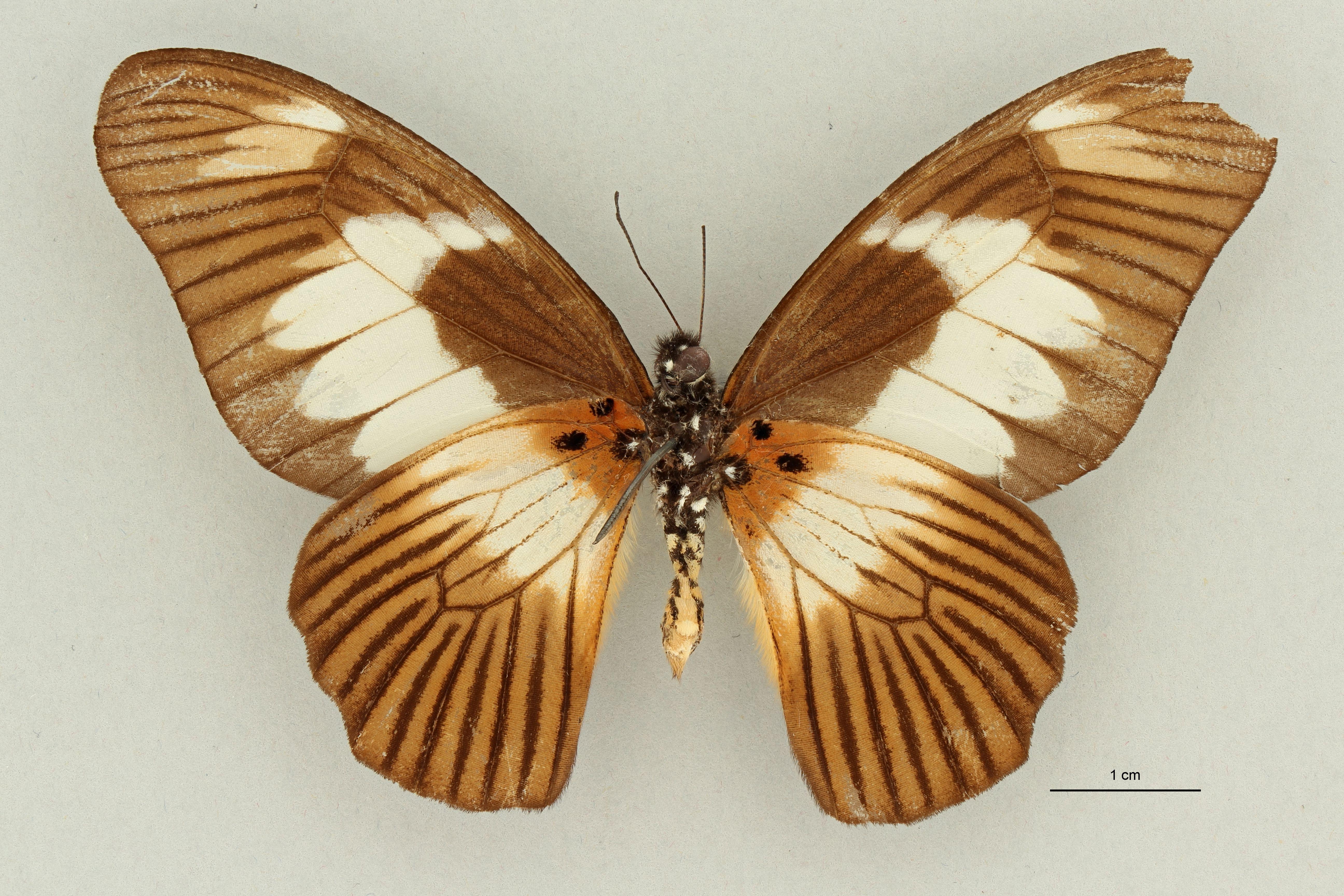 Papilio ucalegon var simoni M ht V.jpg