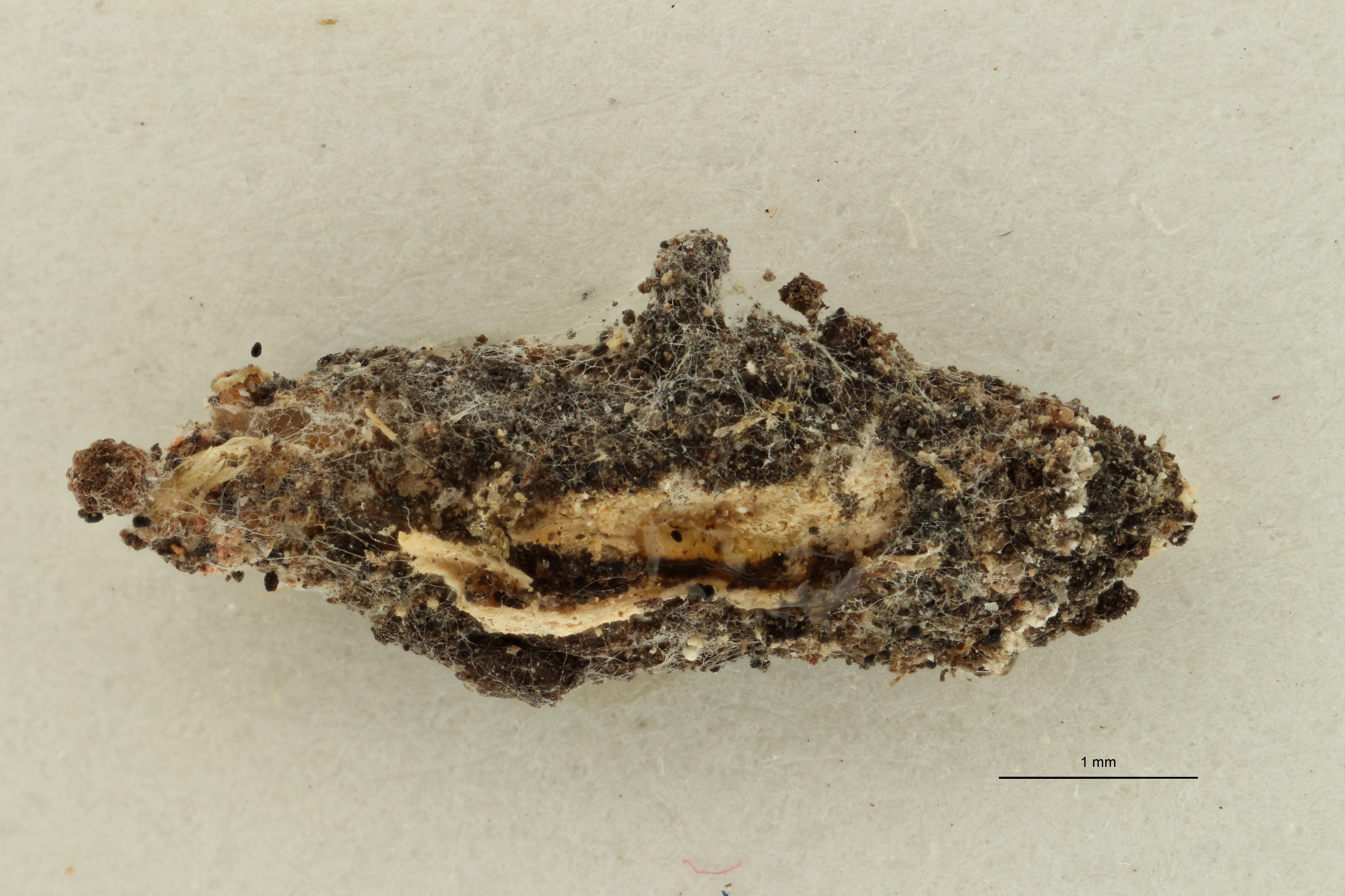 Luffia palmensis (Larval case) No type Dorsal ZS PMax Scaled.jpeg