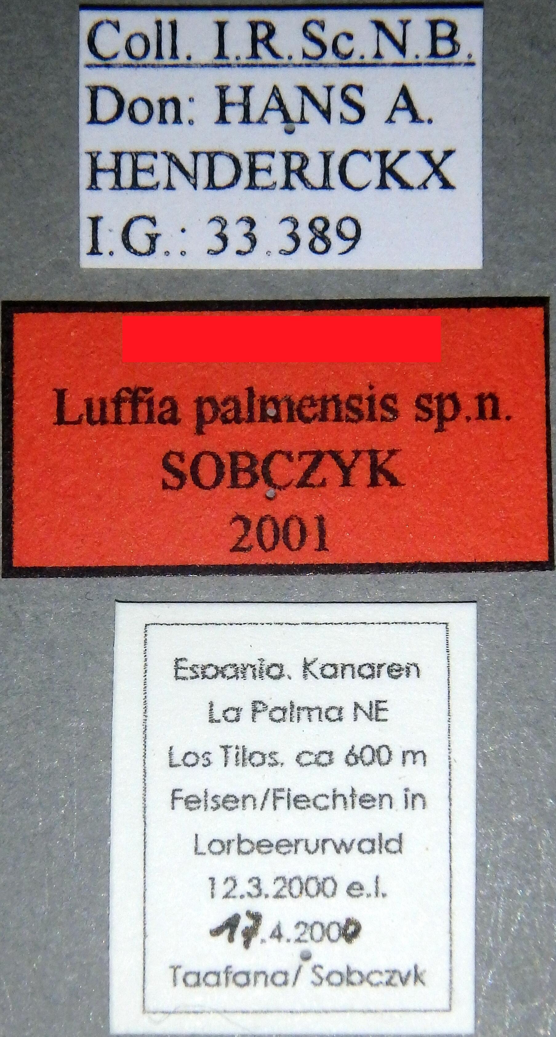 Luffia palmensis (Larval case) No type Labels.JPG