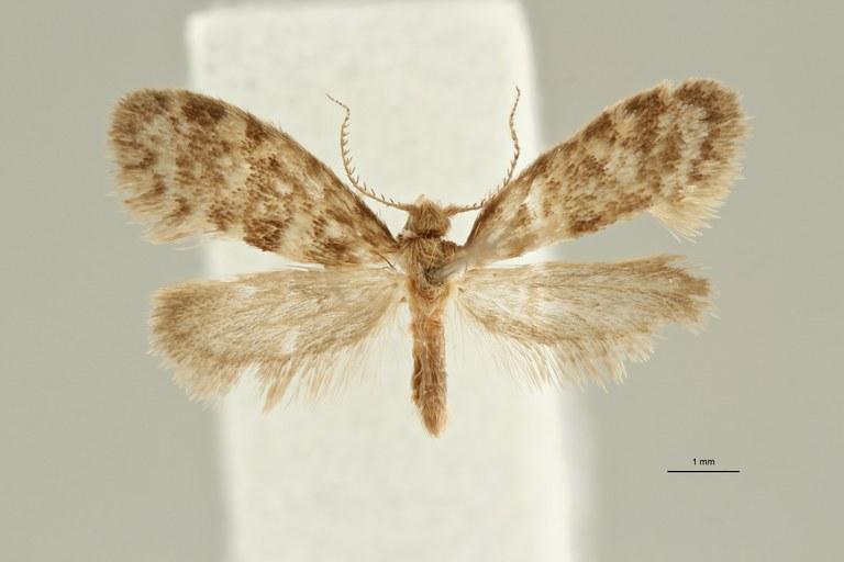 Luffia palmensis Paratype Dorsal ZS PMax Scaled.jpeg