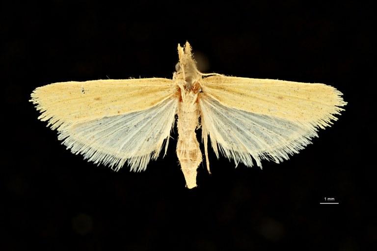 Anerastia ablutella saharae ht D ZS PMax Scaled.jpeg