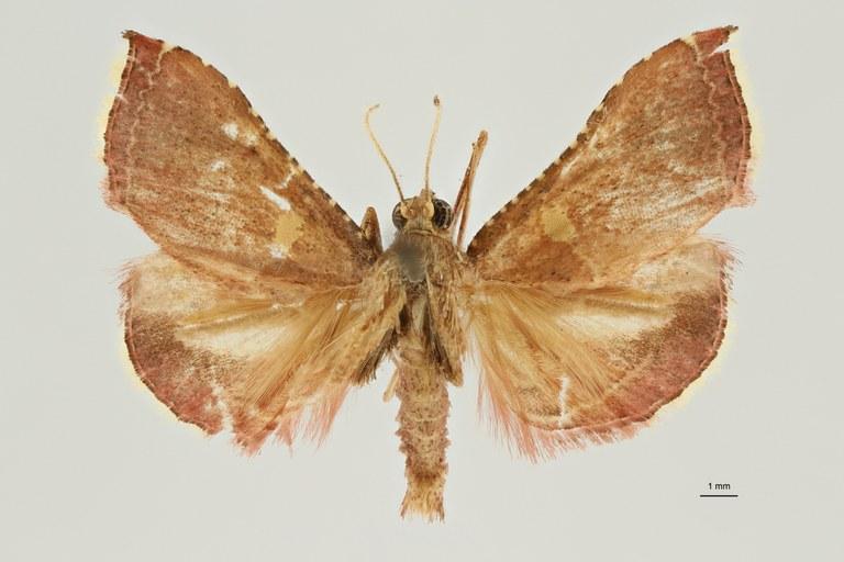Endotricha luteopuncta pt D ZS PMax Scaled.jpeg