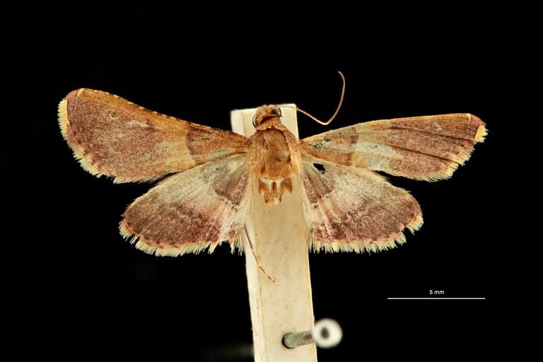 Endotricha propinqua pt D ZS PMax Scaled.jpeg