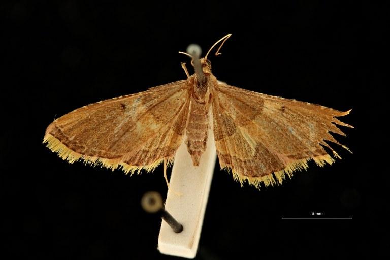 Endotricha sandaraca pt D ZS PMax Scaled.jpeg