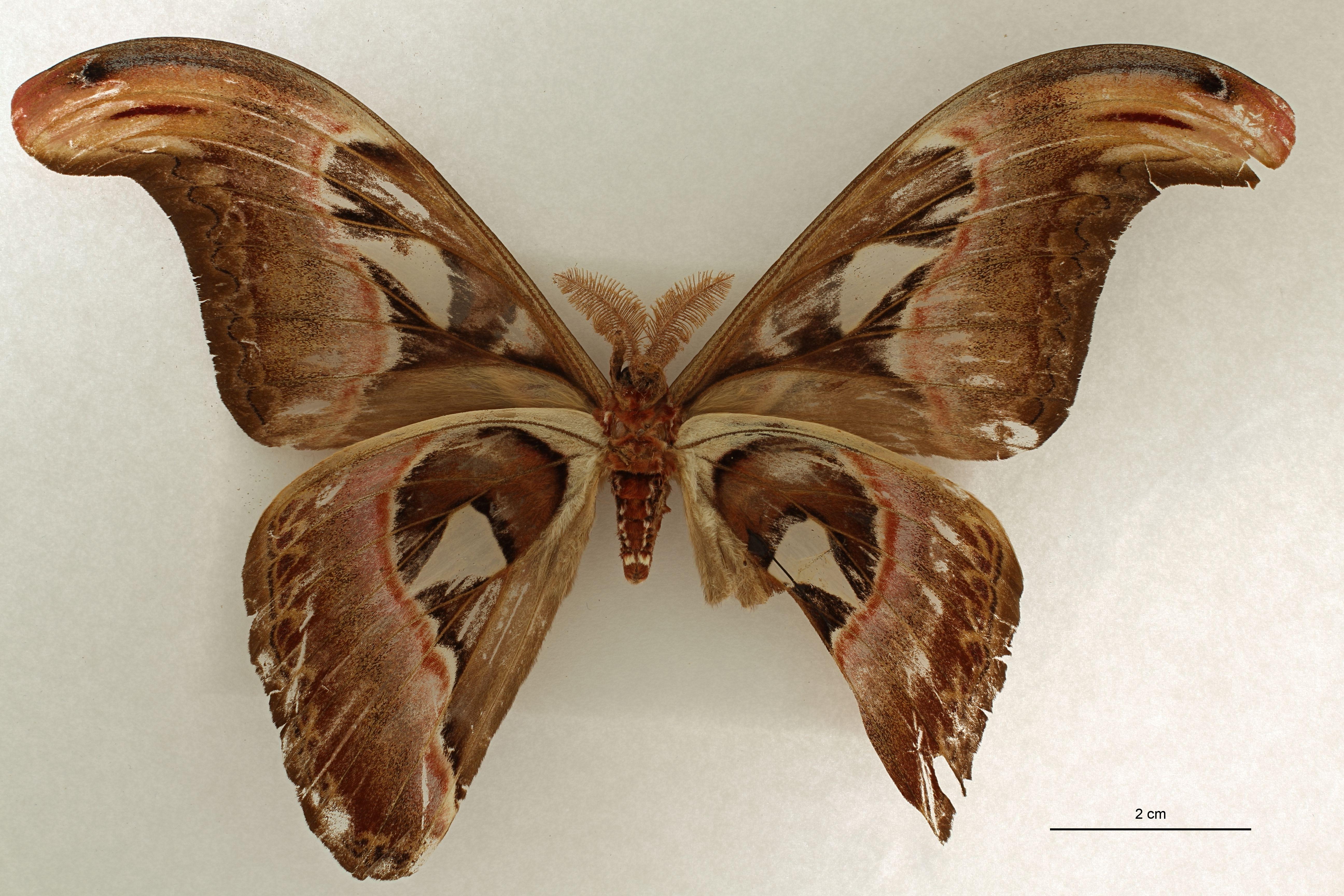 Attacus atlas var. javanensis lt V.jpg