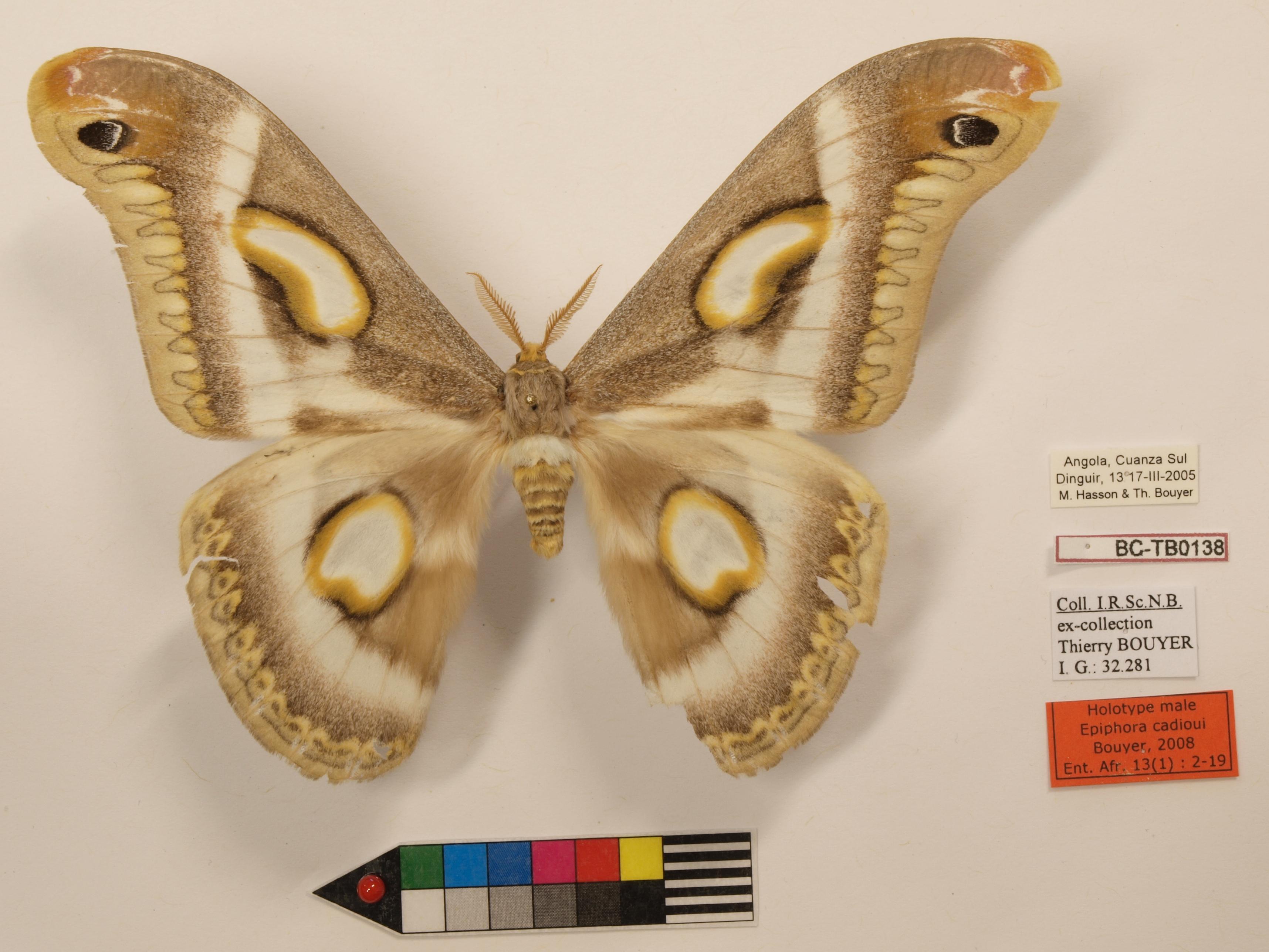 Epiphora cadioui M Lb.JPG