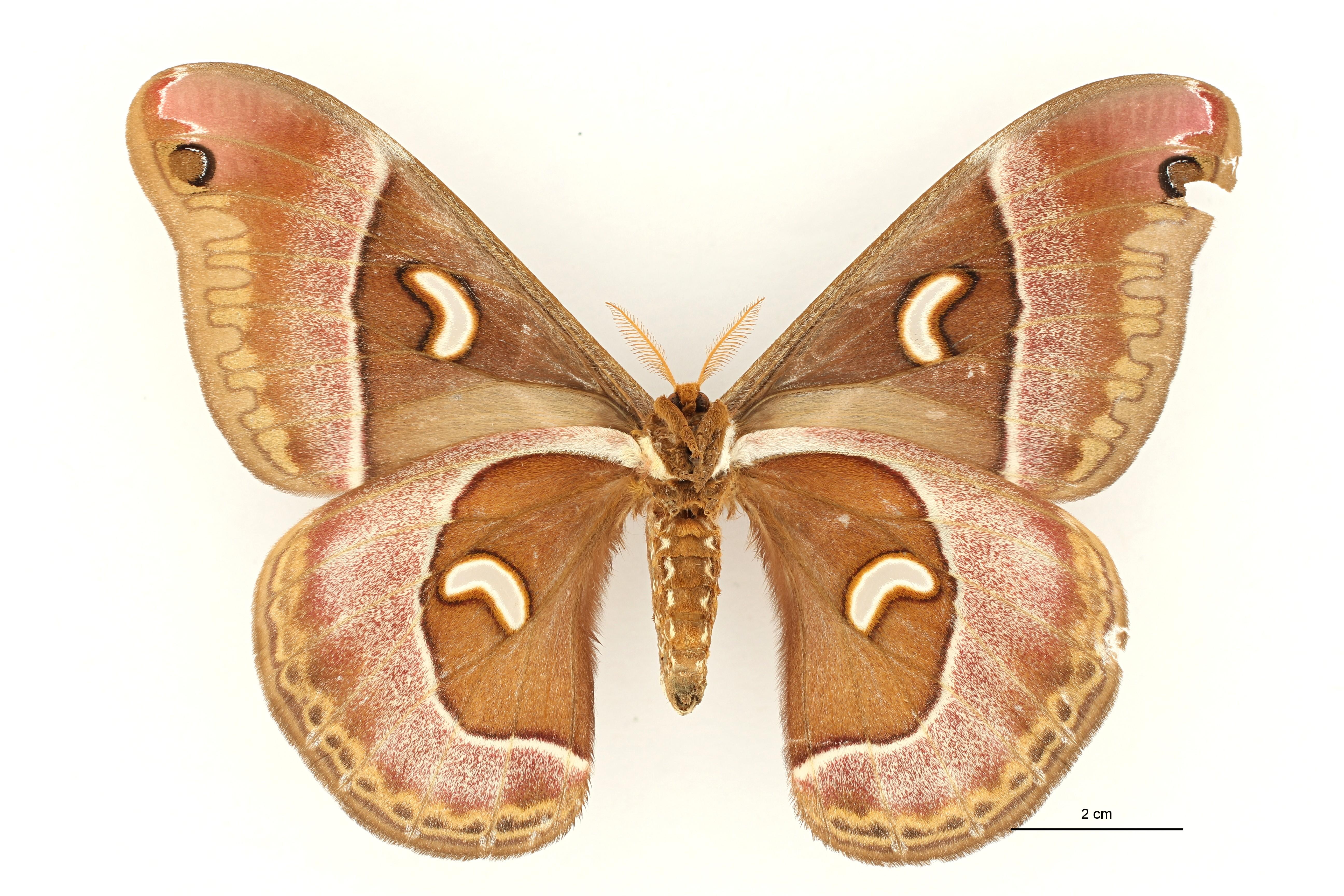 Epiphora murphyi pt F V ZS PMax.jpg