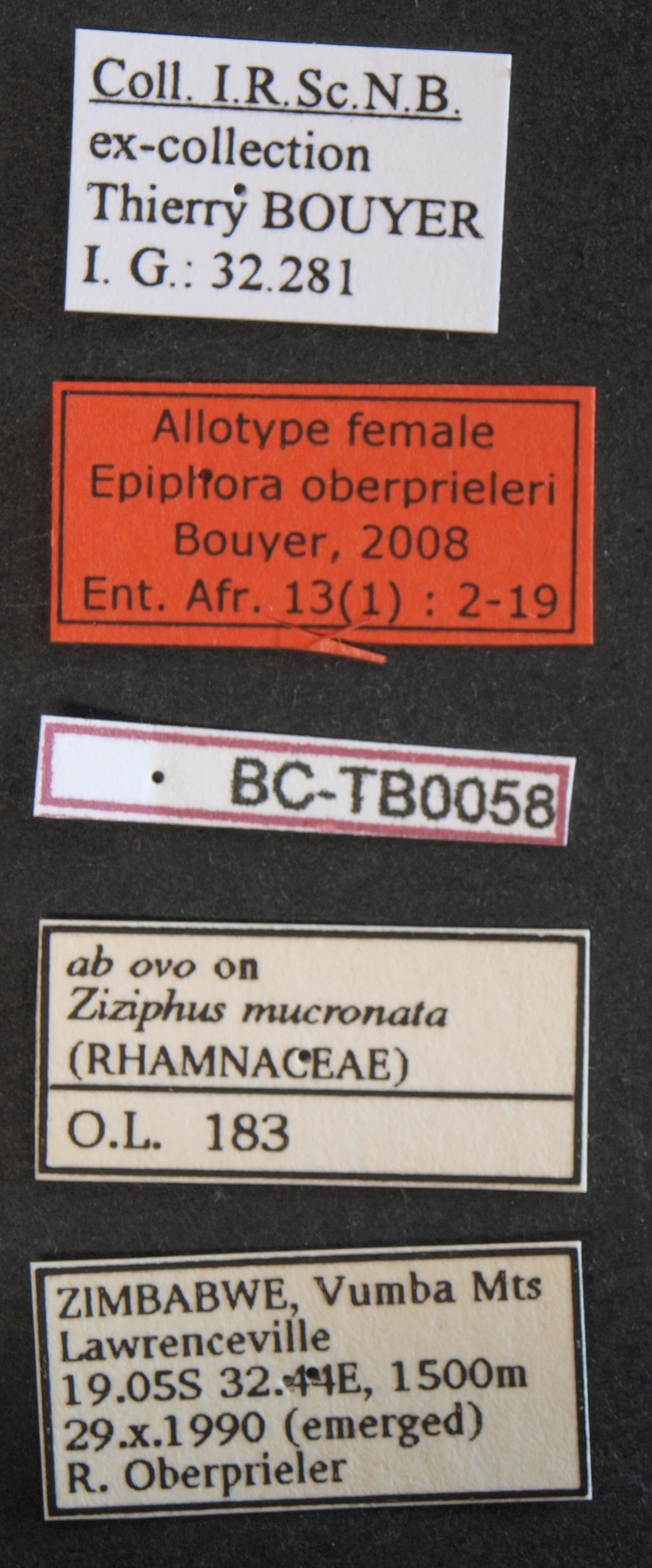 Epiphora oberprieleri alt F Lb.JPG