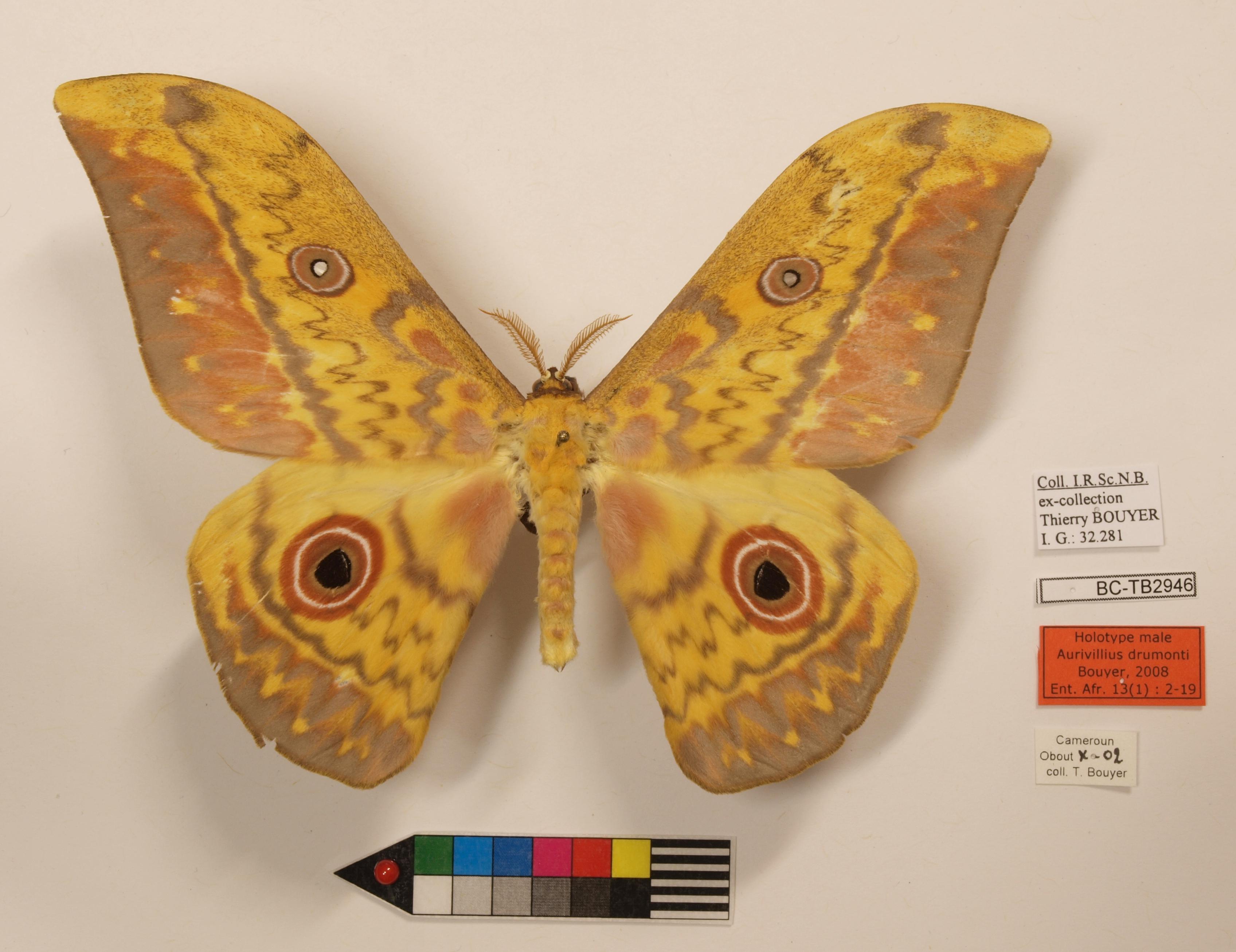 Aurivillius drumonti M Lb.JPG