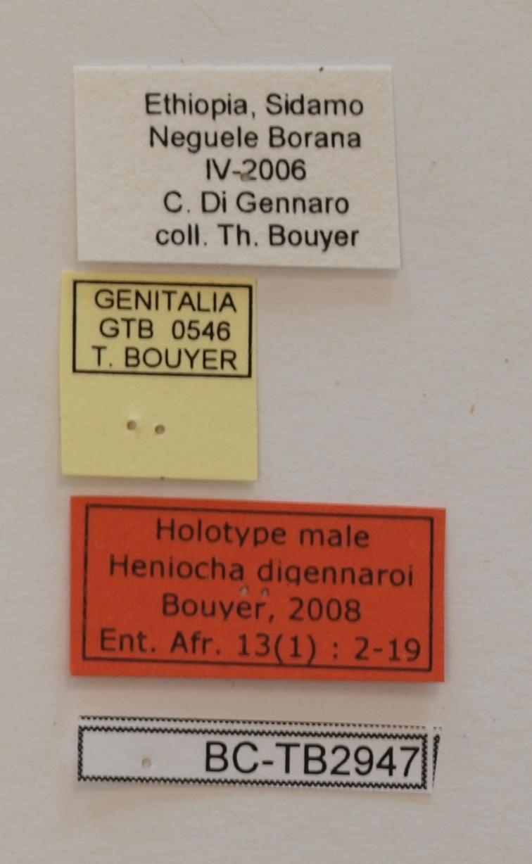 Heniocha digennaroi M Lb only.JPG