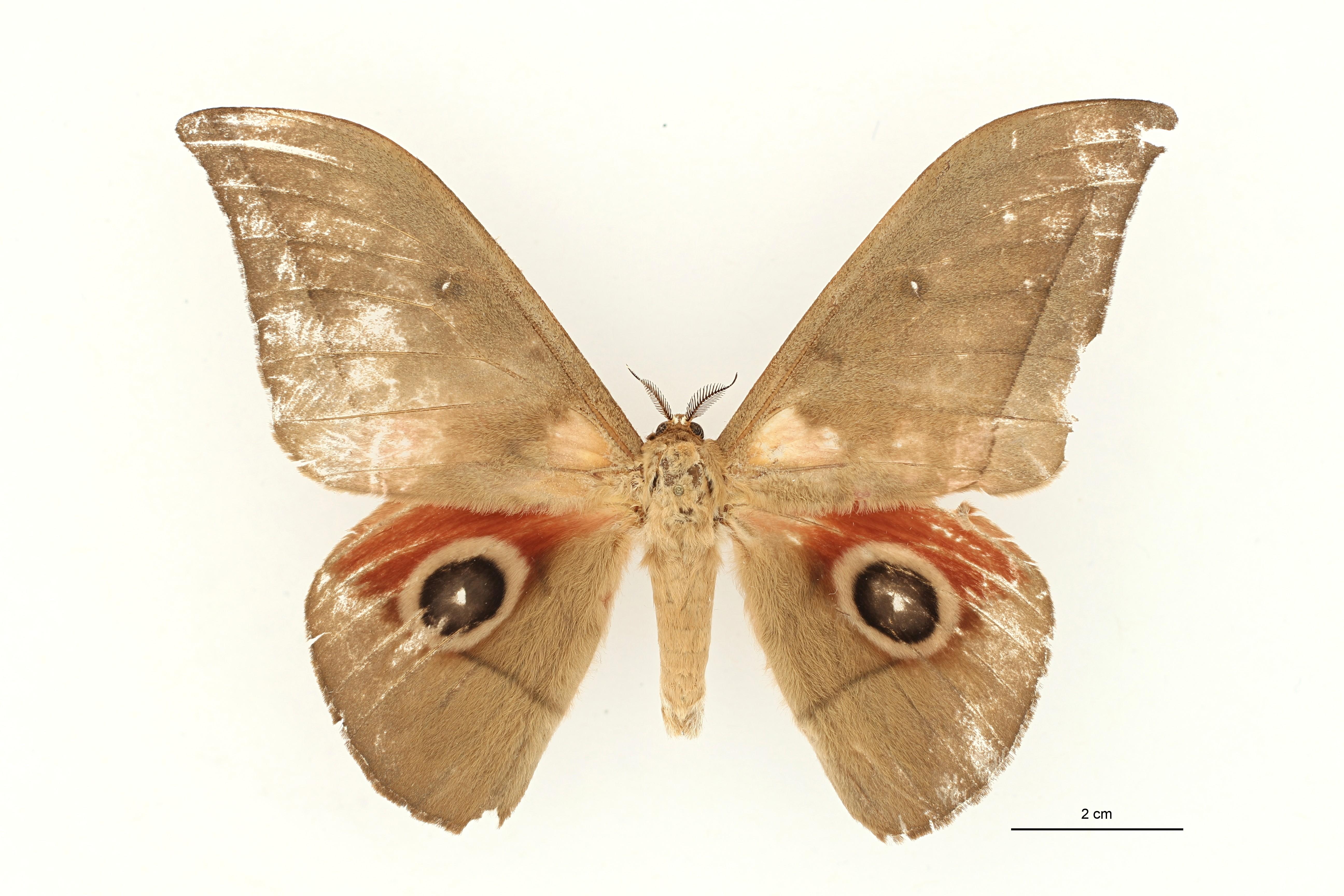 Lobobunaea equatoriensis pt M D ZS PMax.jpg