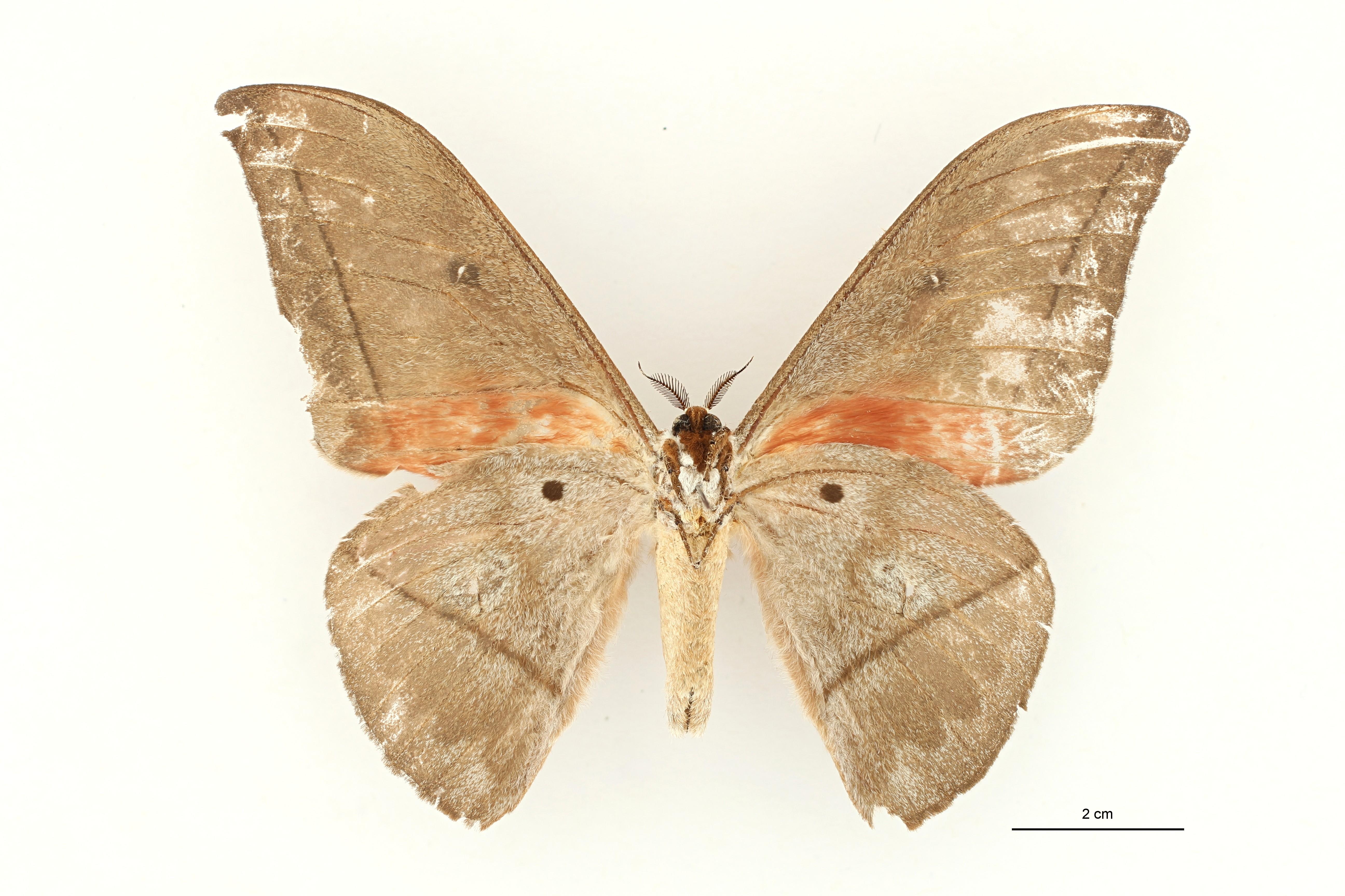 Lobobunaea equatoriensis pt M V ZS PMax.jpg