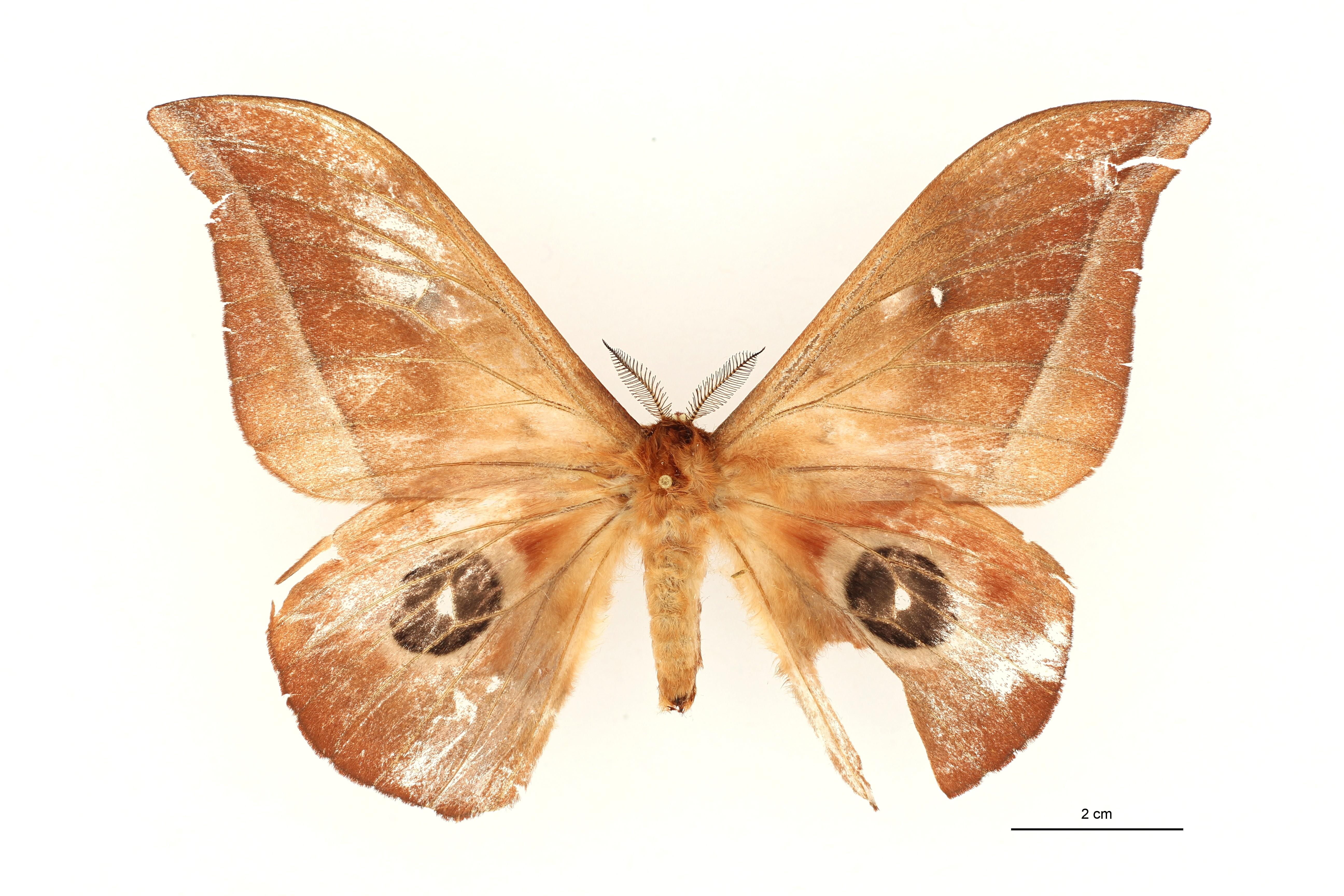 Lobobunaea vingerhoedti pt M D ZS PMax.jpg