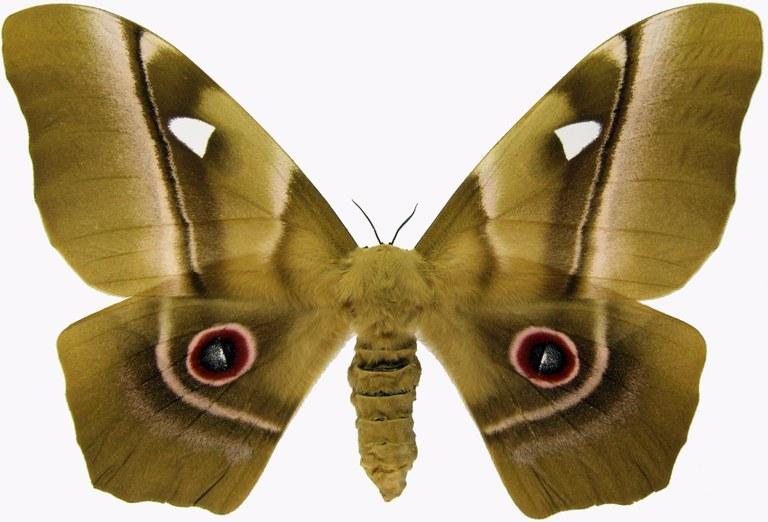 Pseudimbrasia deyrollei f 18457.jpg