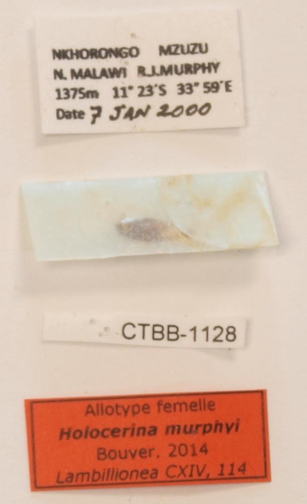 Holocerina murphyi F Labels Holotype 1.JPG