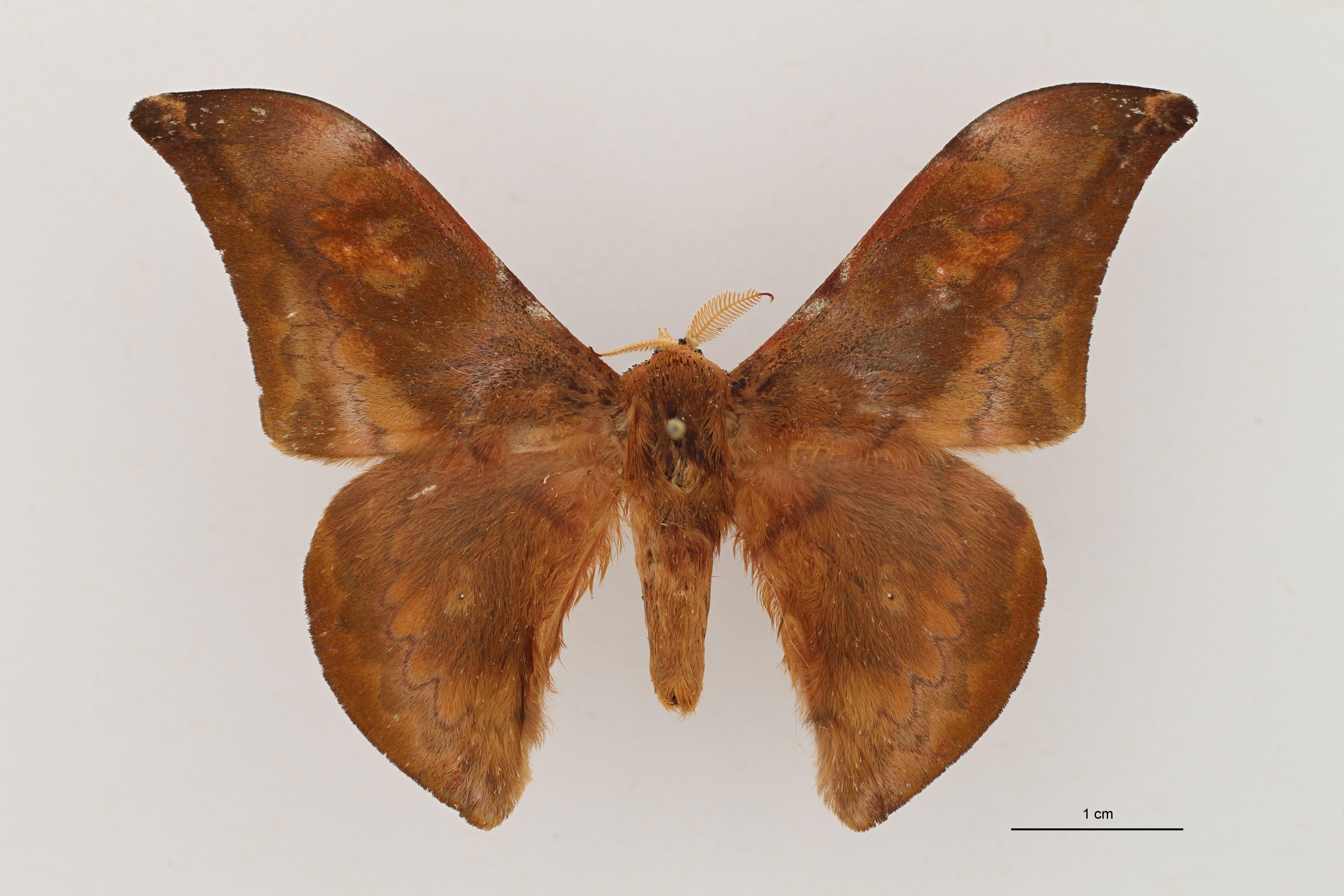 Orthogonioptilum concordia Dorsal ZS PMax.jpg