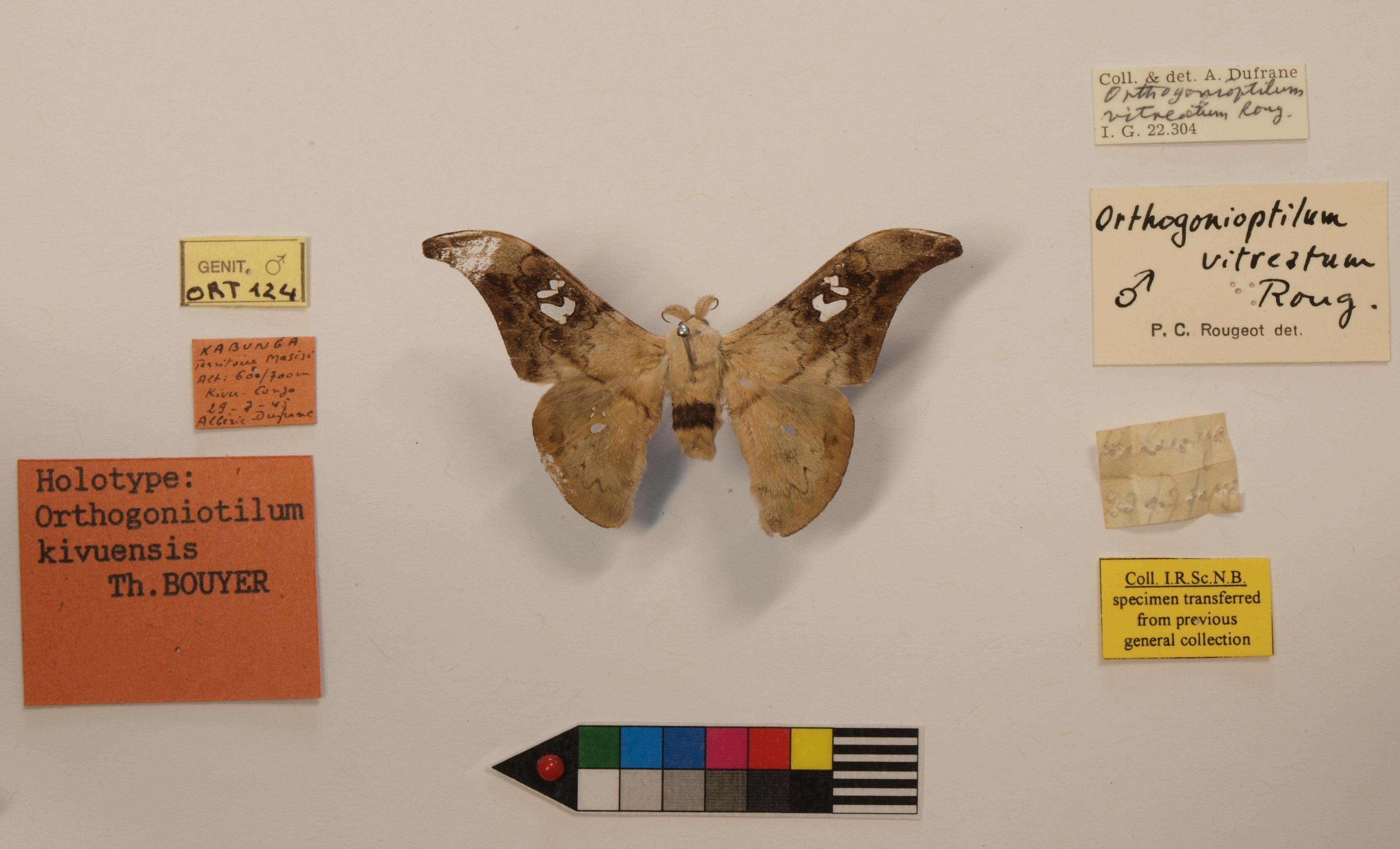 Orthogonioptilum kivuensis Labels.JPG