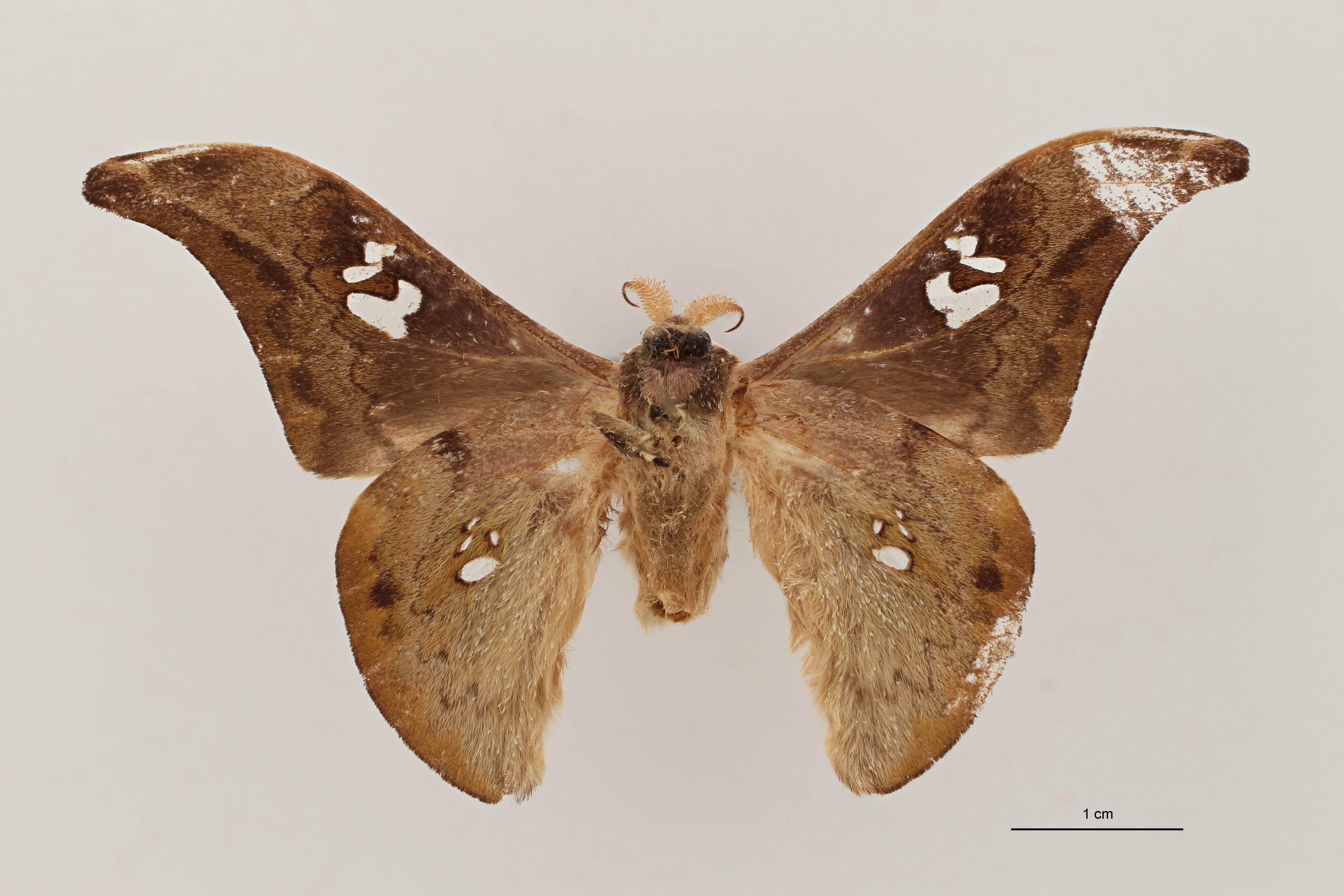 Orthogonioptilum kivuensis Ventral ZS PMax.jpg