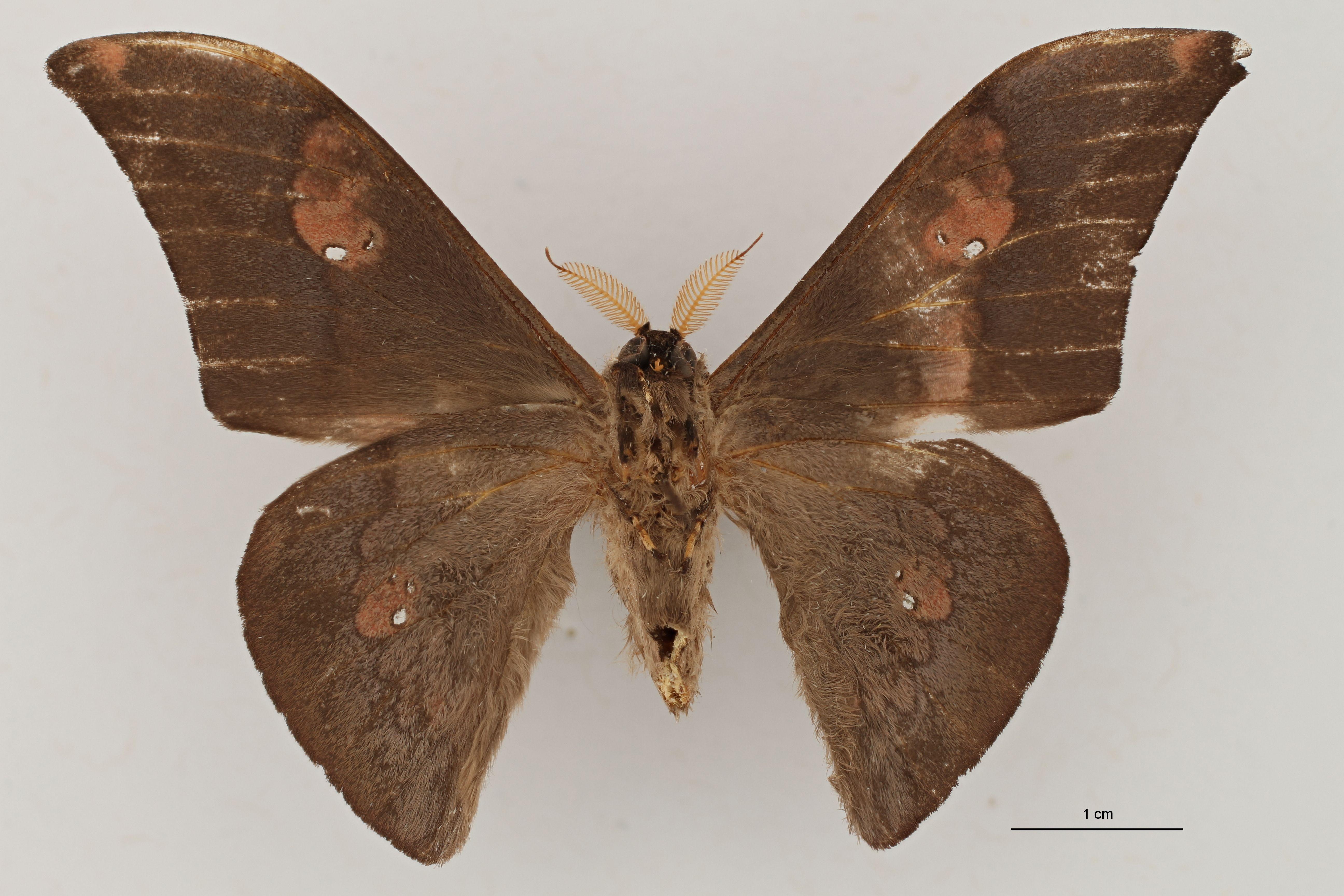Orthogonioptilum solium Ventral ZS PMax.jpg