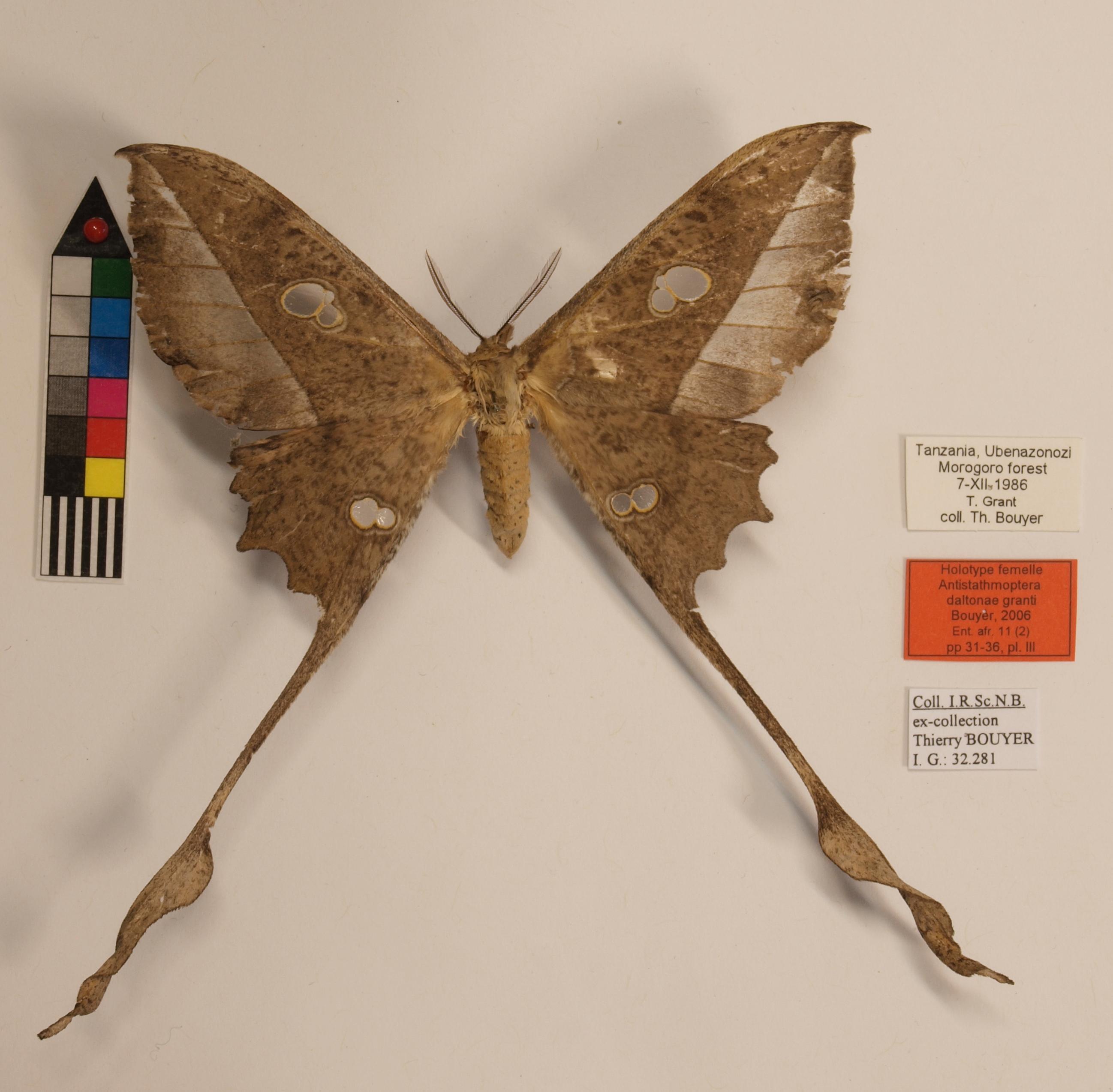 Antistathmoptera daltonae granti F Lb.JPG