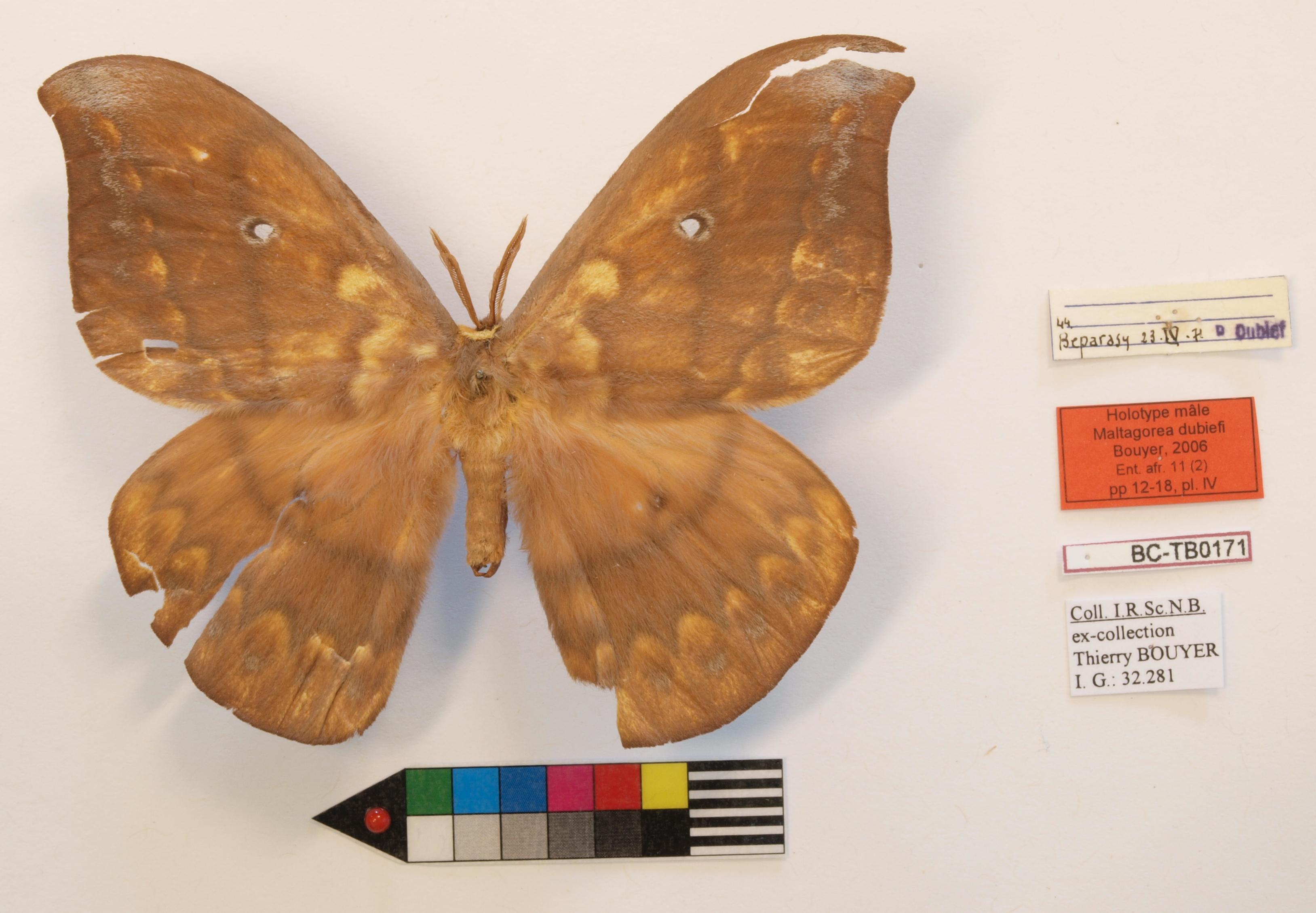 Maltagorea dubiefi M Labels Holotype.JPG