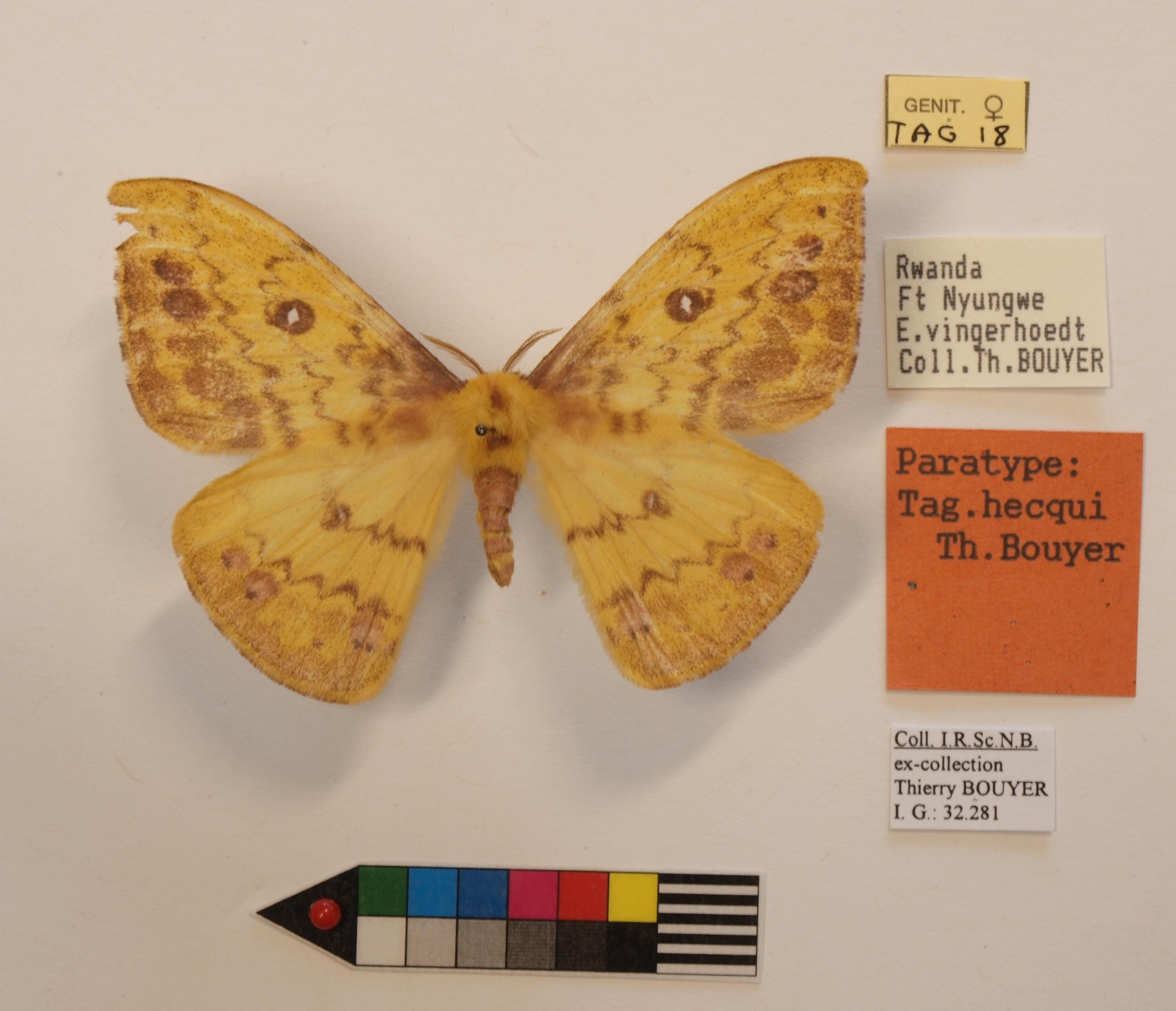 Tagoropsis hecqui F Labels.JPG