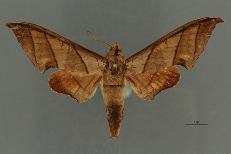Ambulyx trisecta ht D ZS PMax Scaled.jpeg