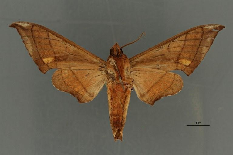 Ambulyx trisecta ht V ZS PMax Scaled.jpeg