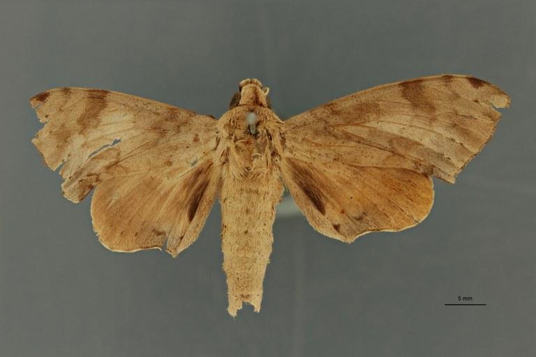Polyptychus nigriplaga pt D ZS PMax Scaled.jpeg