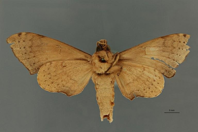 Polyptychus nigriplaga pt V ZS PMax Scaled.jpeg