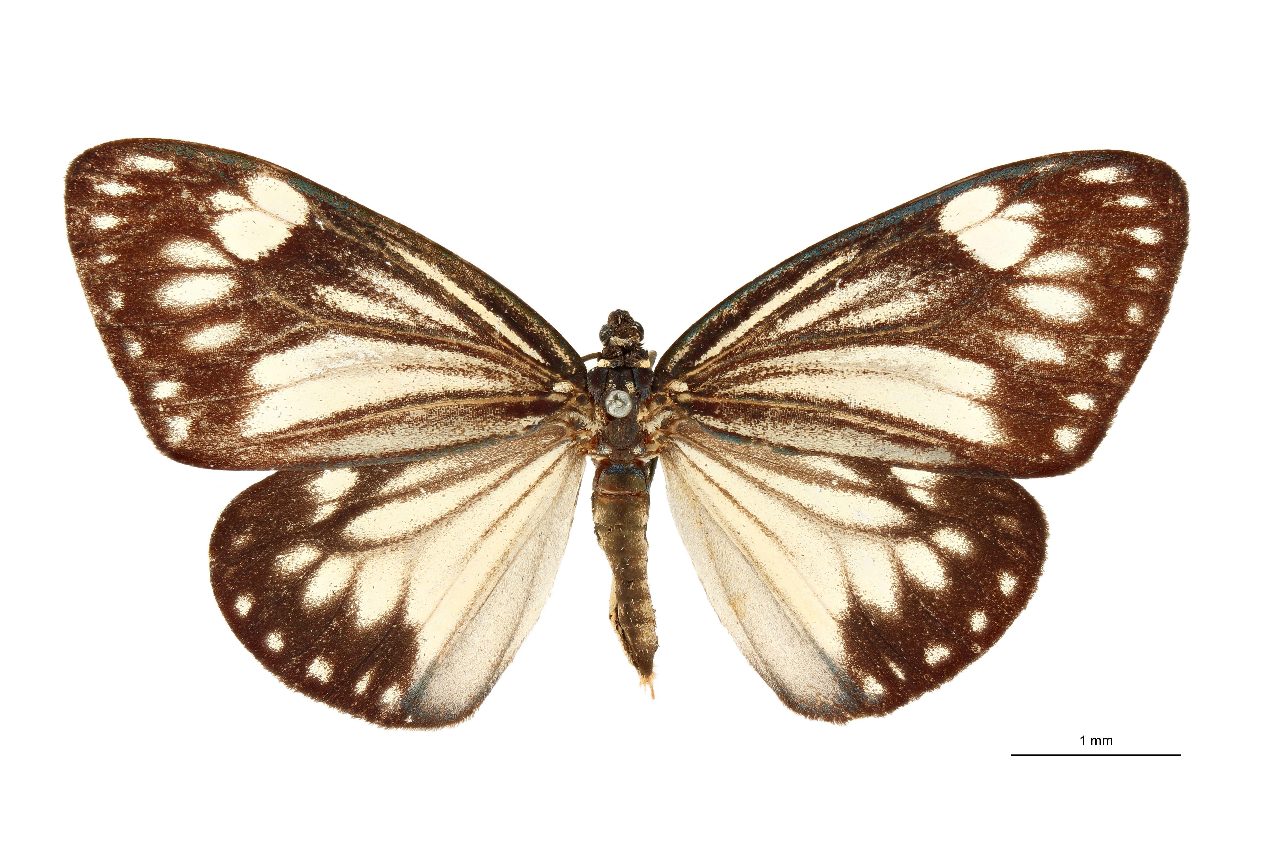 Cyclosia chartacea dorsalis t D.jpg