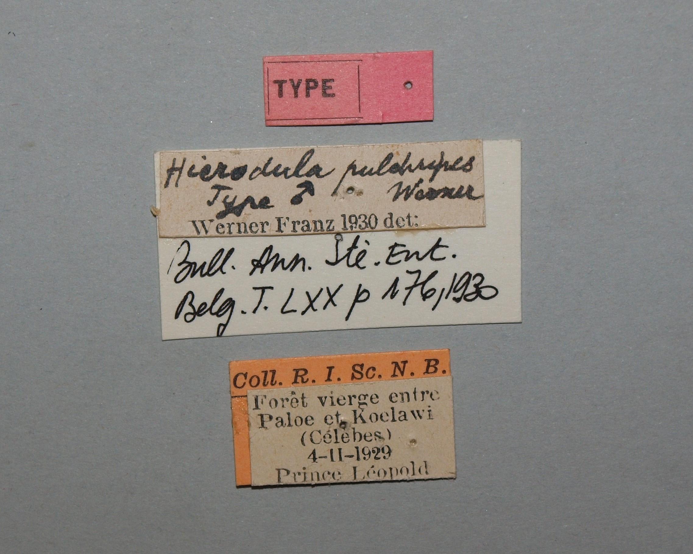Hierodula pulchripes t.JPG