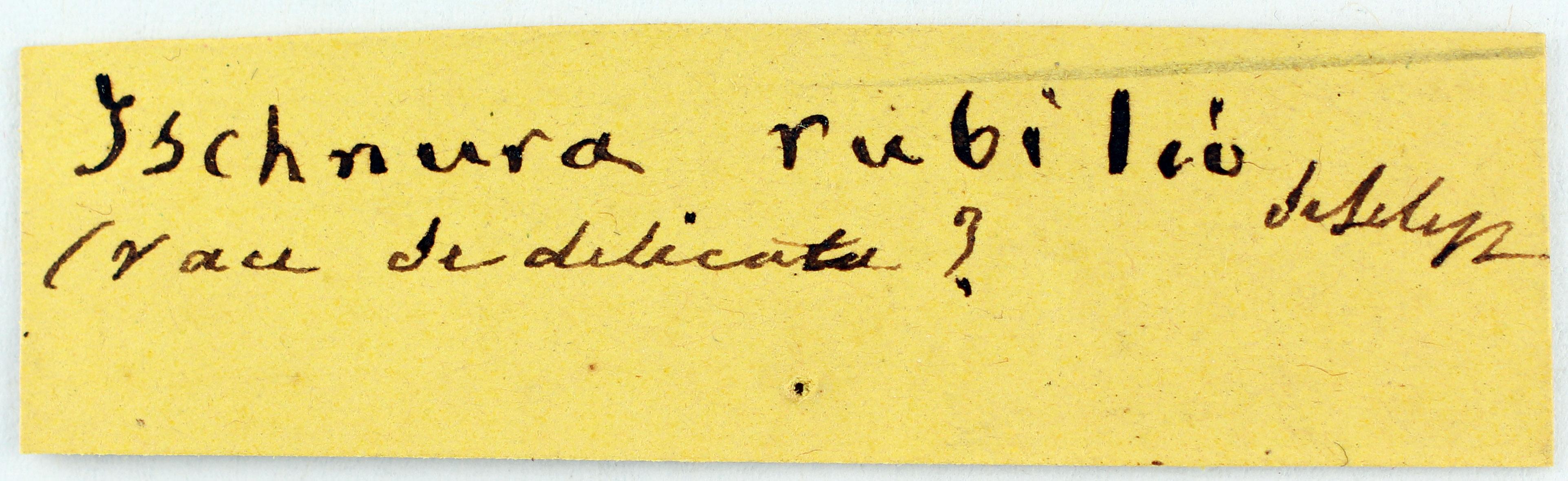 BE-RBINS-ENT Ishnura rubilio Syntype Label Jerome Constant.JPG