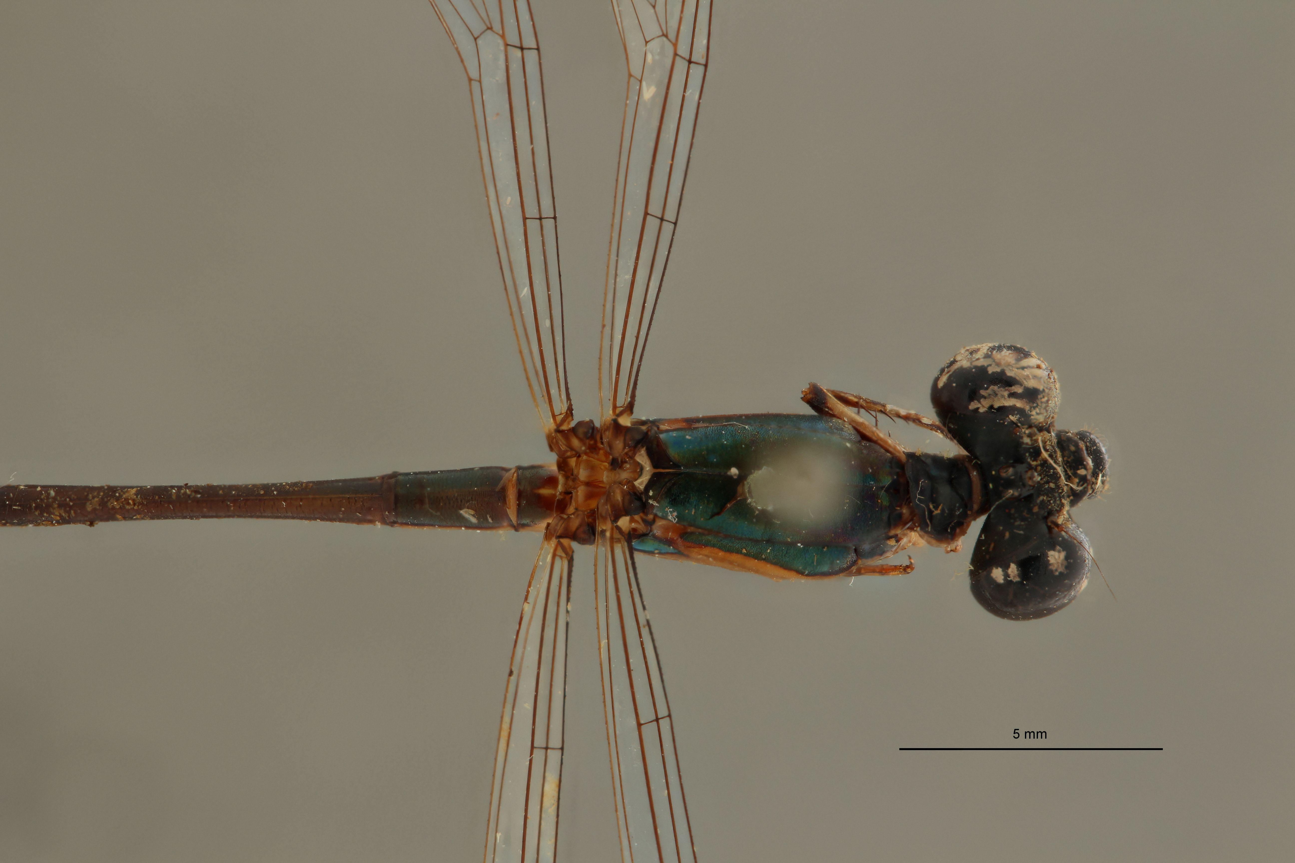 Teinobasis gracillina t D2.jpg