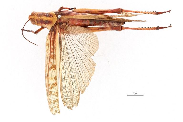 Valanga nioricornis aroensis t D.jpg
