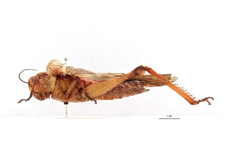 Valanga nioricornis aroensis t L.jpg