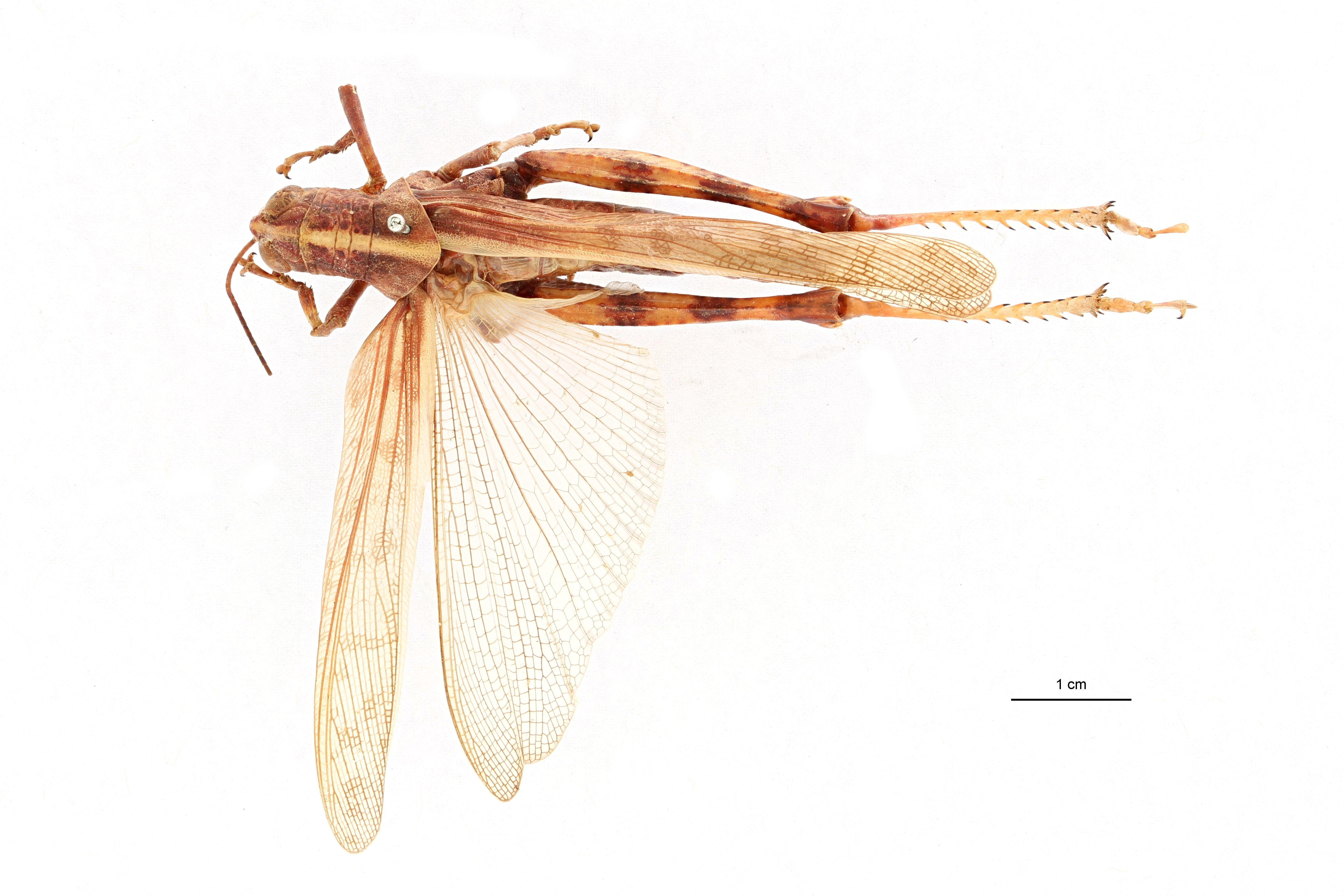 Valanga nigricornis sakoemiensis ht D.jpg