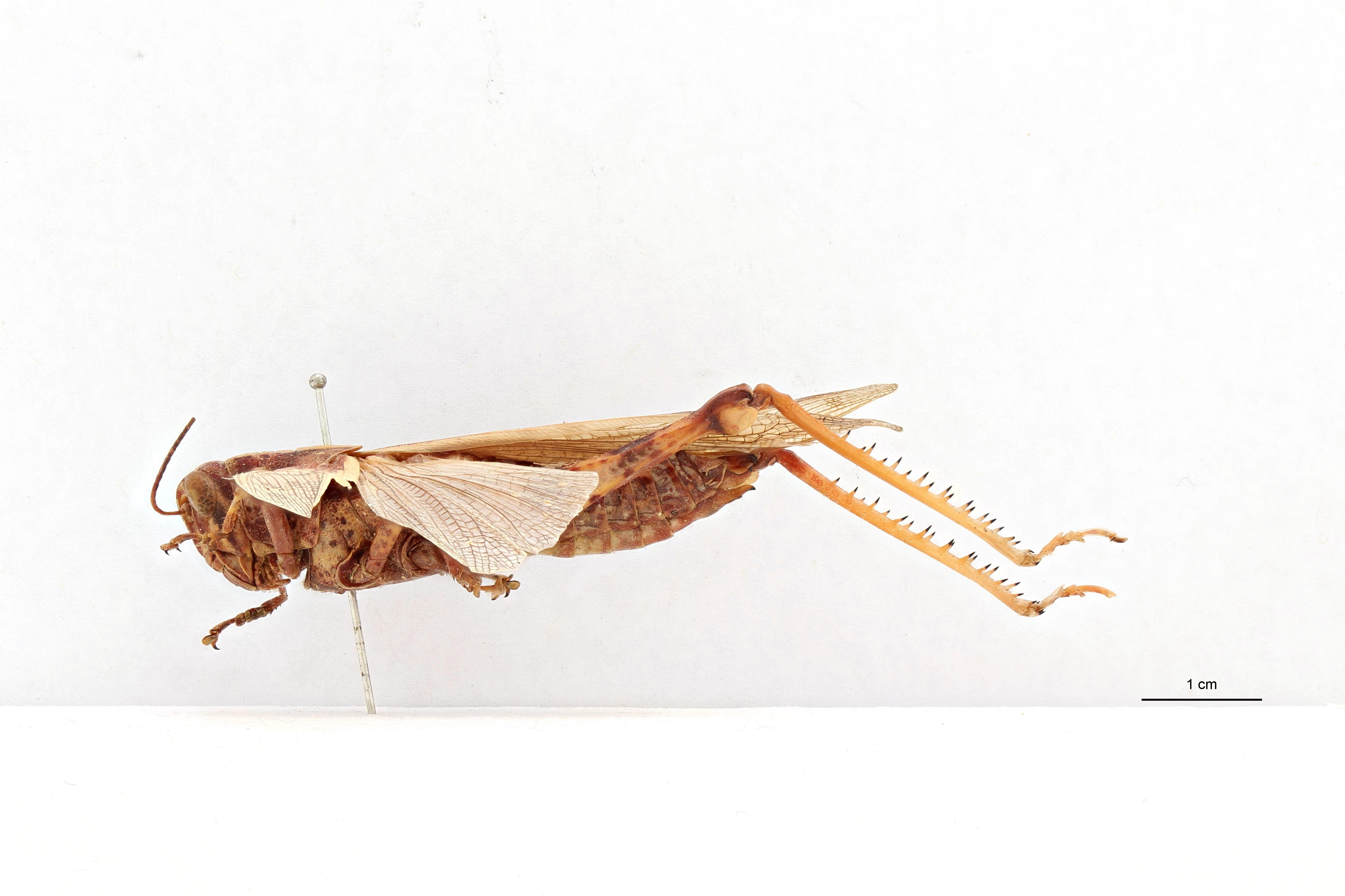Valanga nigricornis sakoemiensis ht L.jpg