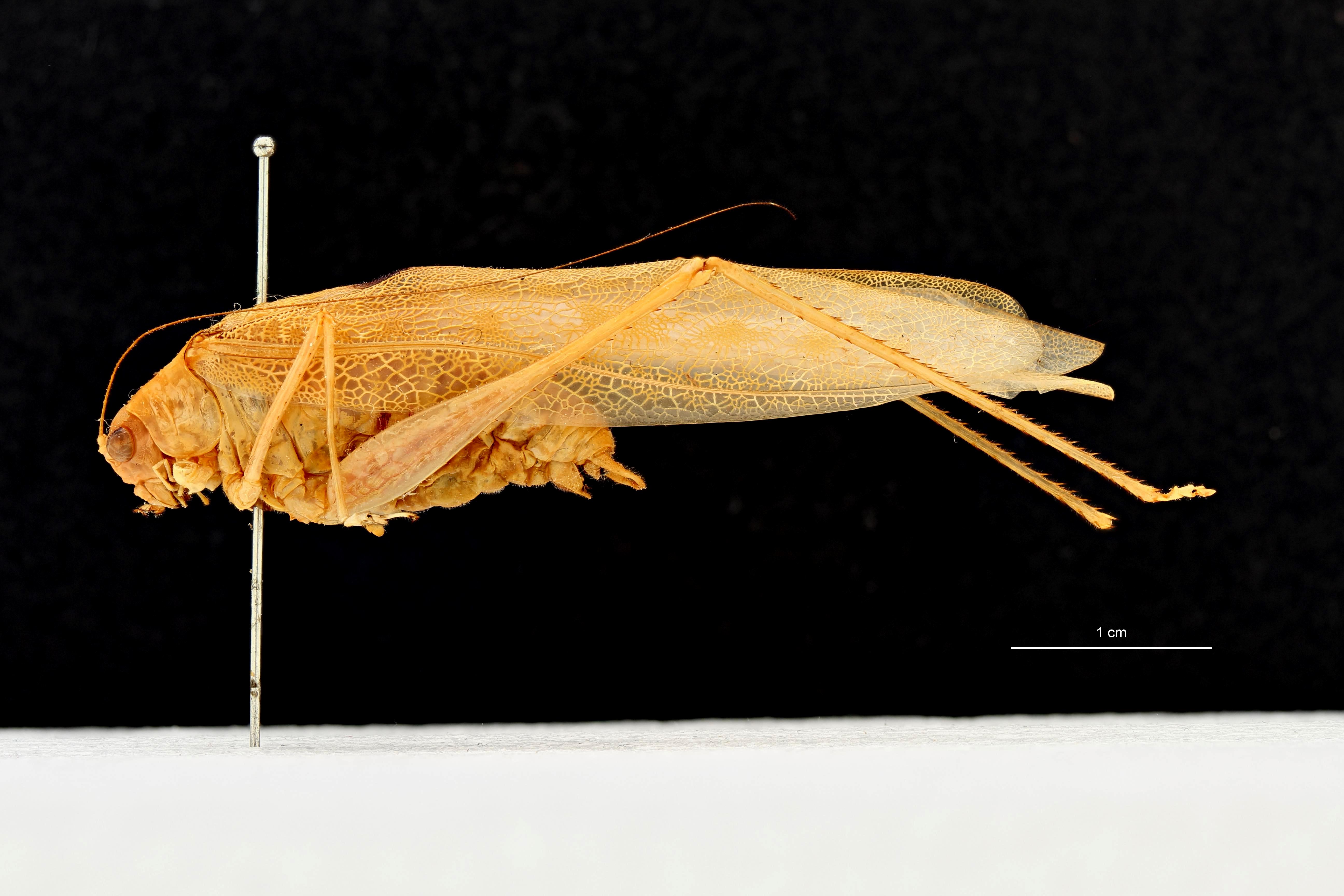 Psyra unimaculata t L.png