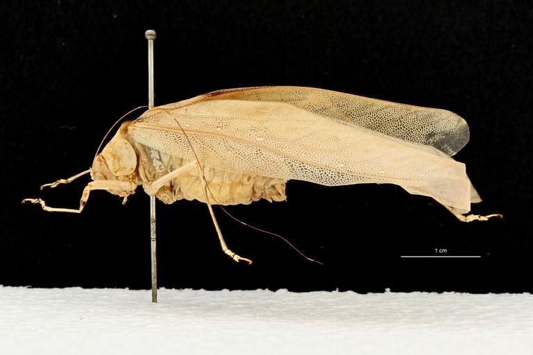 Psyra unimaculata pt D.jpg