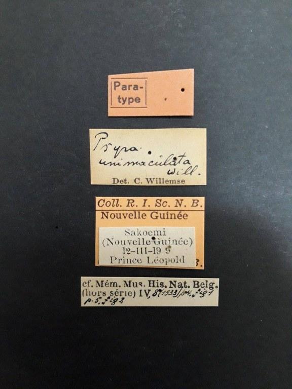 Psyra unimaculata pt.jpg