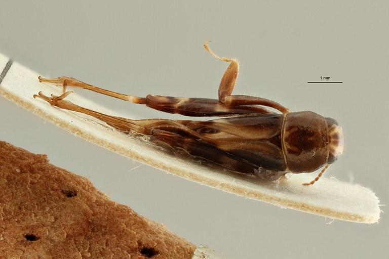 Bruntridactylus centralafricanus ht D ZS PMax Scaled.jpeg