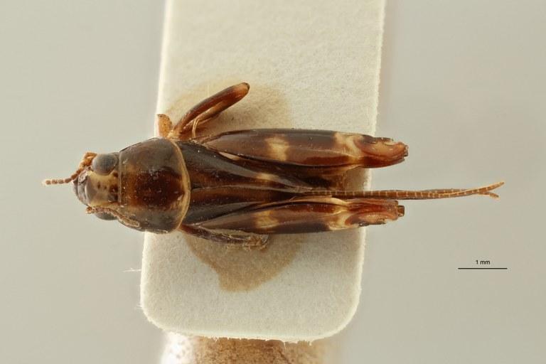 Bruntridactylus latihamatus pt D ZS PMax Scaled.jpeg