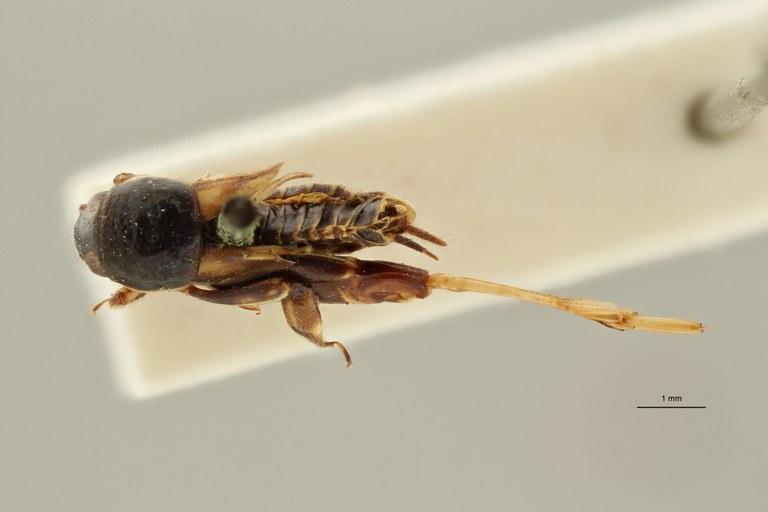 Tridactylus variegatus lt D ZS PMax Scaled.jpeg