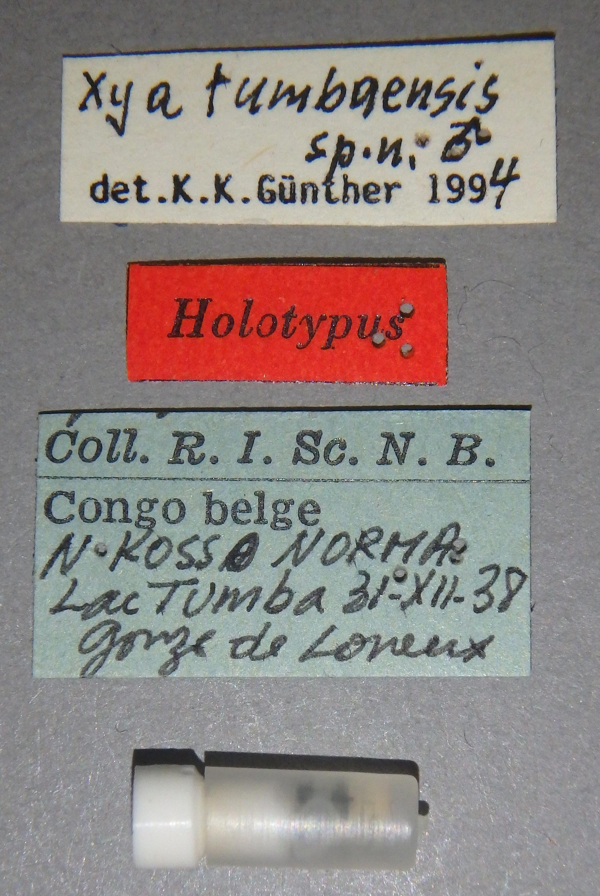 Xya tumbaensis ht Lb.JPG
